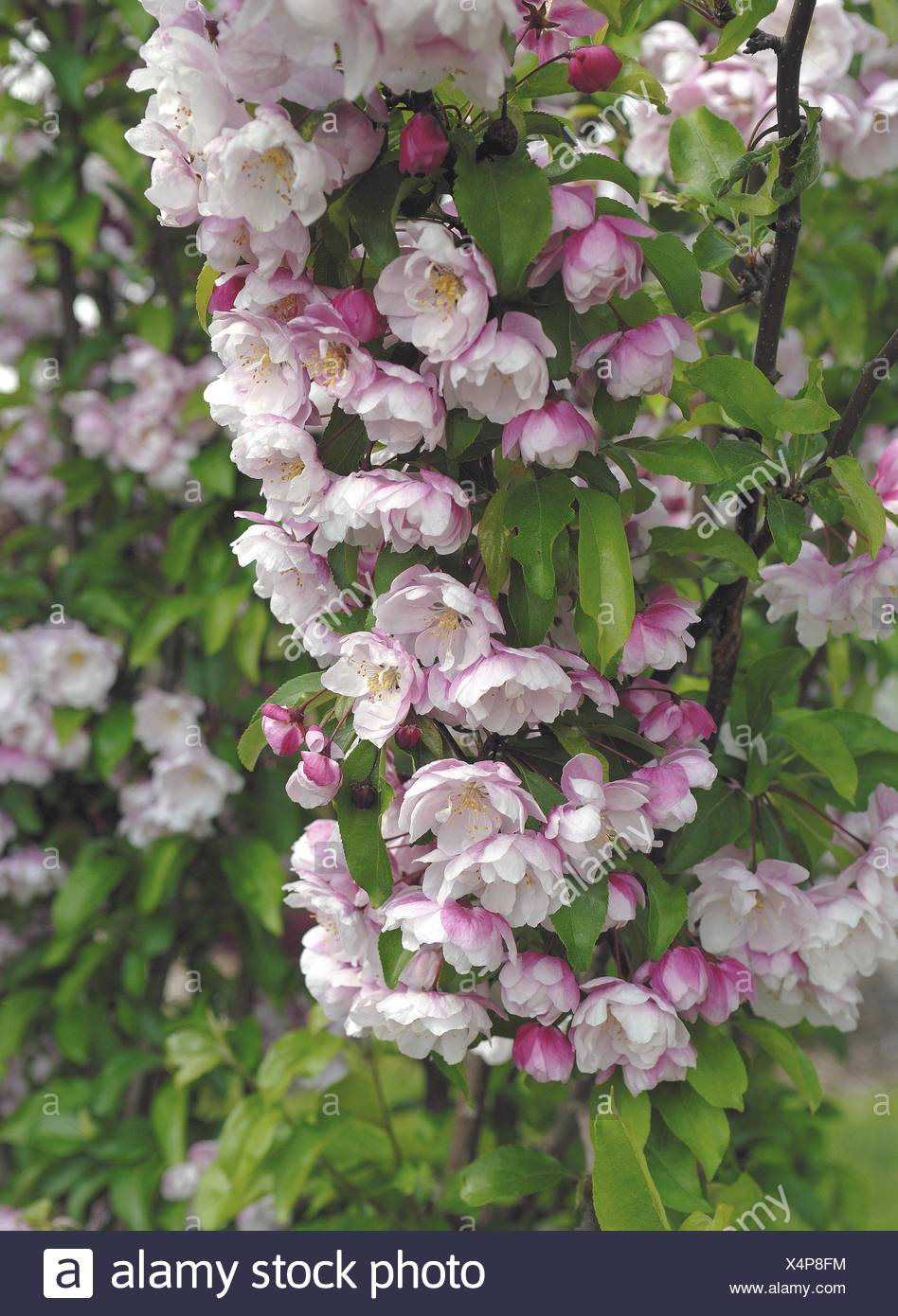Crab apple (Malus 'Van Eseltine', Malus Van Eseltine), cultivar Van Eseltine, blooming - Stock Image
