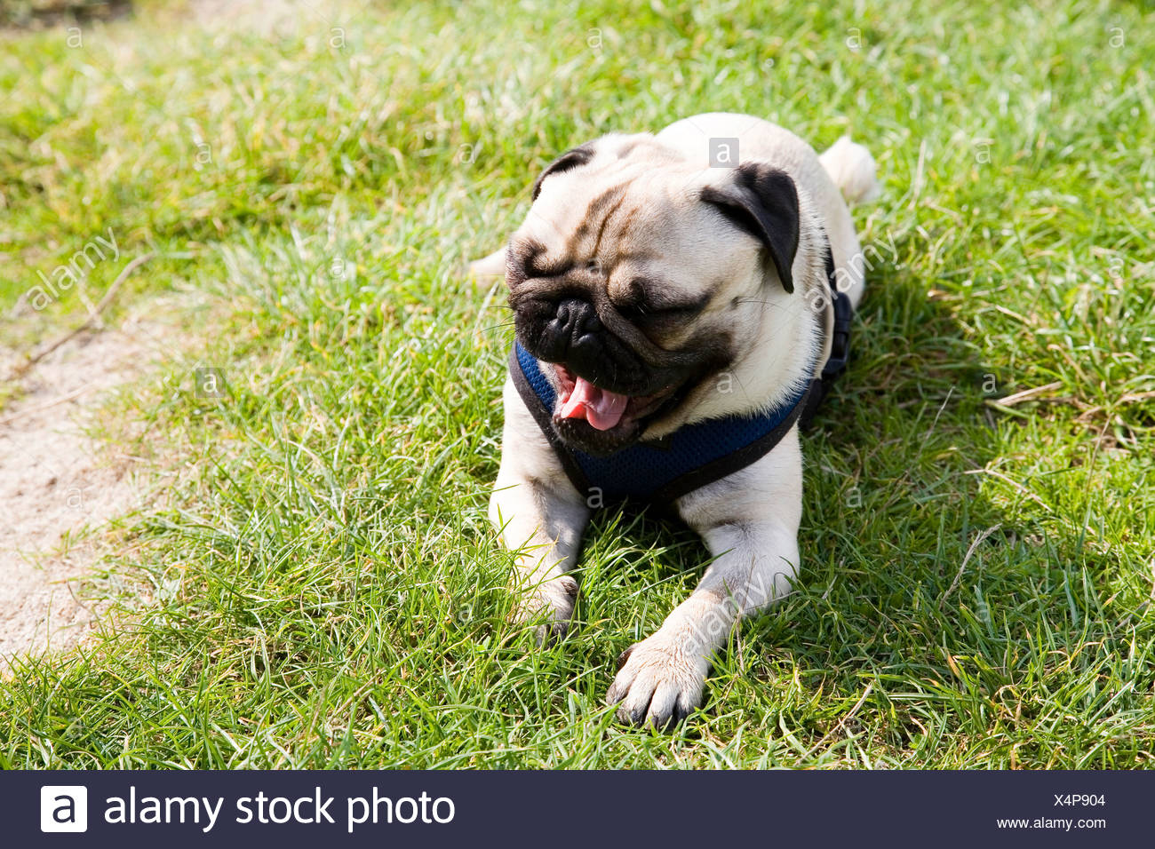 Young pug lying on a meadow yawning - Stock Image