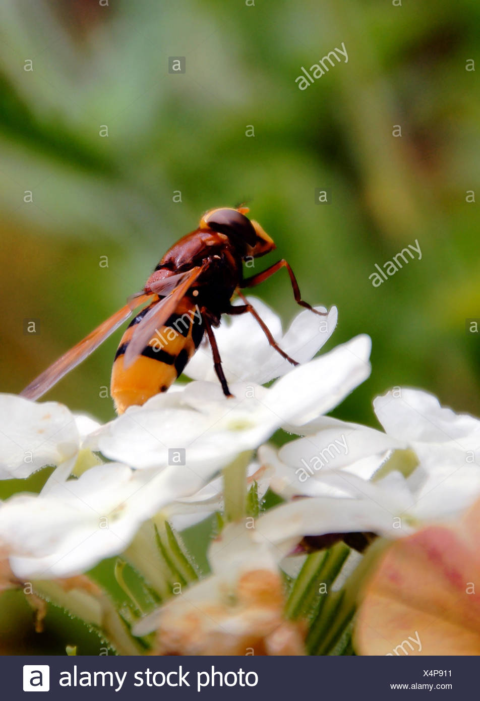 flies, butterfly, nectar, doll, caterpillar, flutter, collect, collecting, - Stock Image