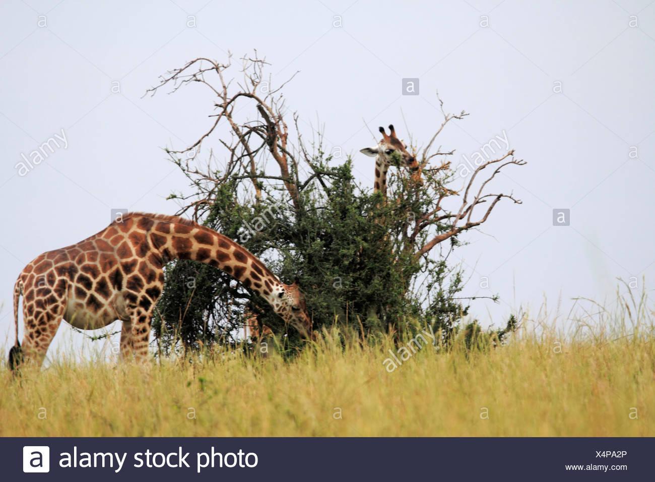 Rothschild's giraffe, Rothschild giraffe, Baringo Giraffe, Ugandan Giraffe (Giraffa camelopardalis rothschildi), eating, Uganda, Murchison Falls National Park - Stock Image