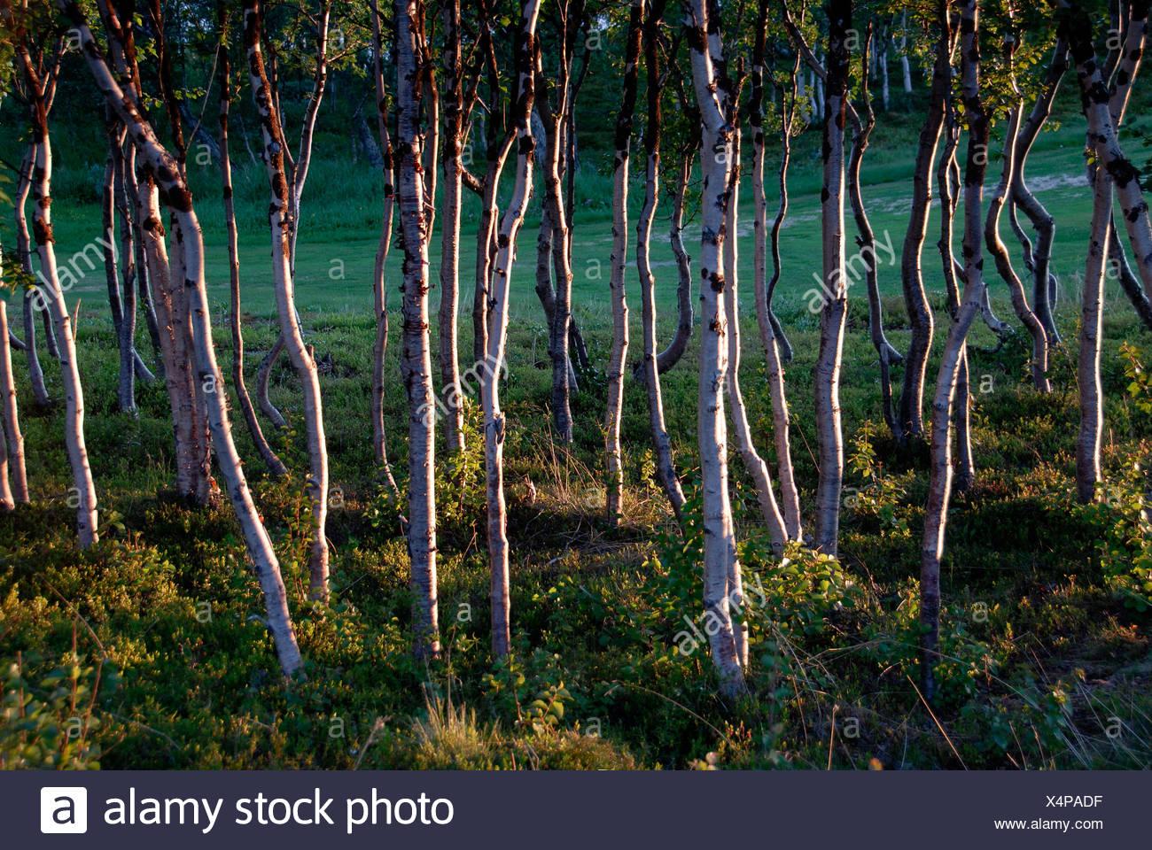 Dense Downy Birch forest (Betula pubescens), Abisko National Park, Lapland, Sweden Stock Photo