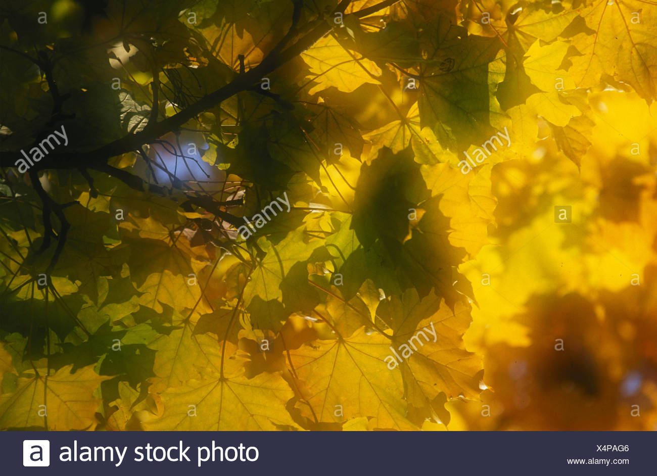 sycamore maple Stock Photo