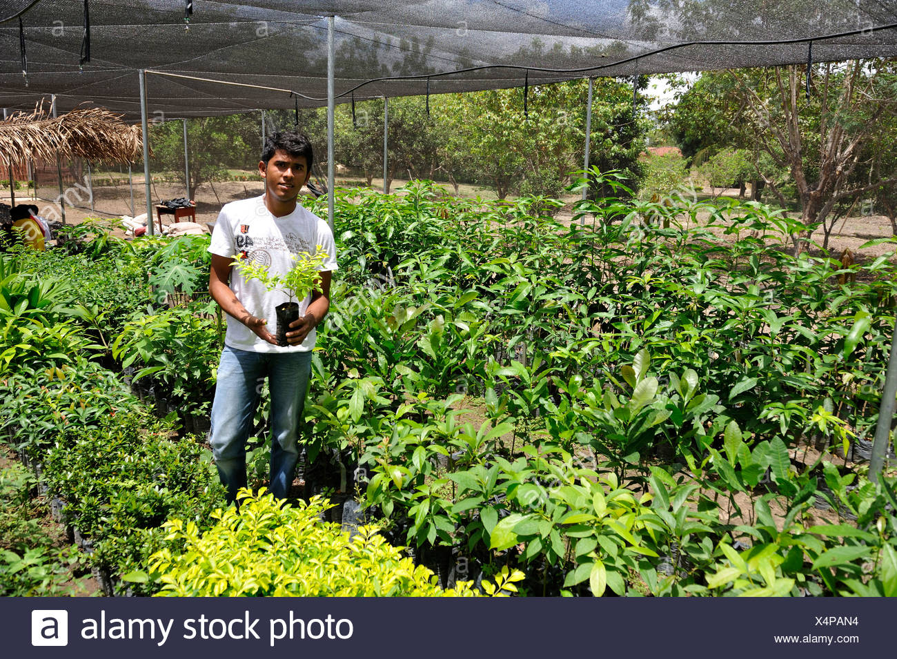 Young man with a seedling in a nursery garden, Maranhao, Brazil, South America, Latin America - Stock Image