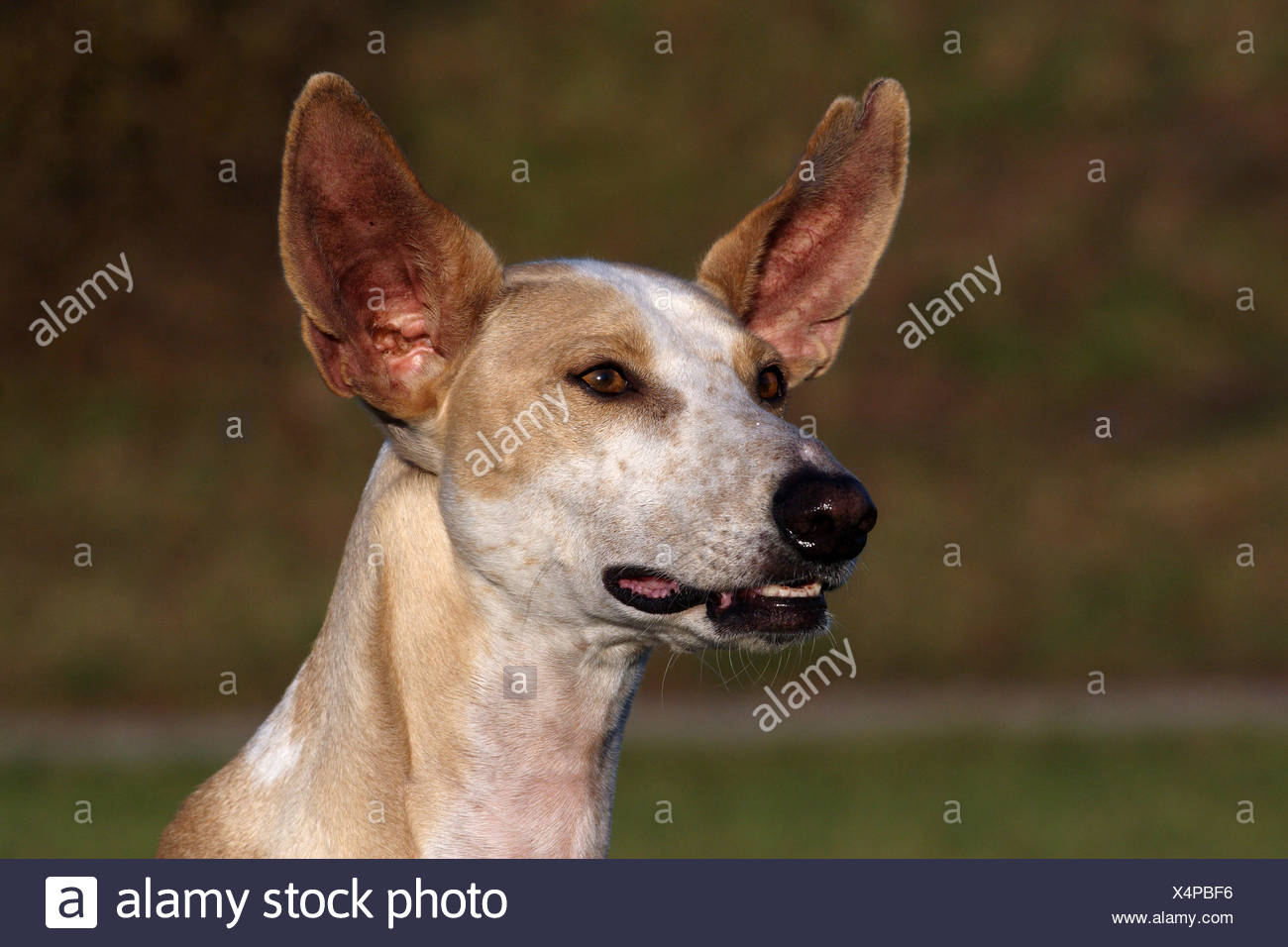 Podenco Canario Portrait Stock Photo