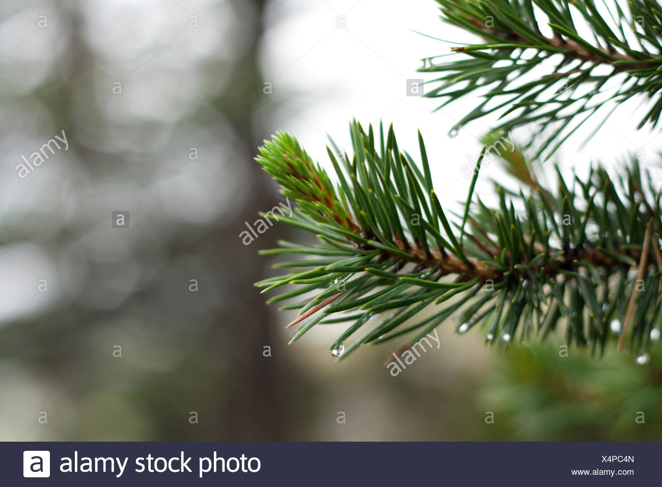Branch of the pine - Stock Image