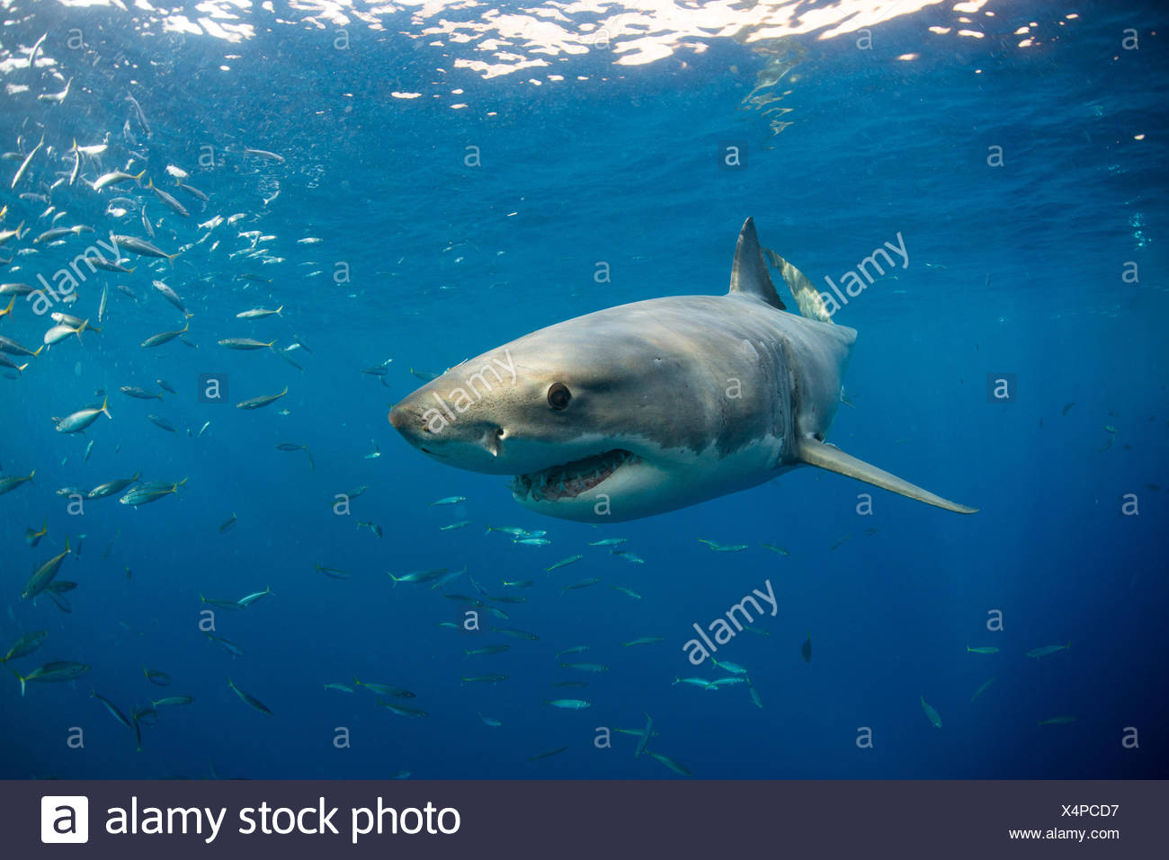 Great white shark swimming (carcharodon carcharias) close to surface, Guadalupe, Mexico - Stock Image