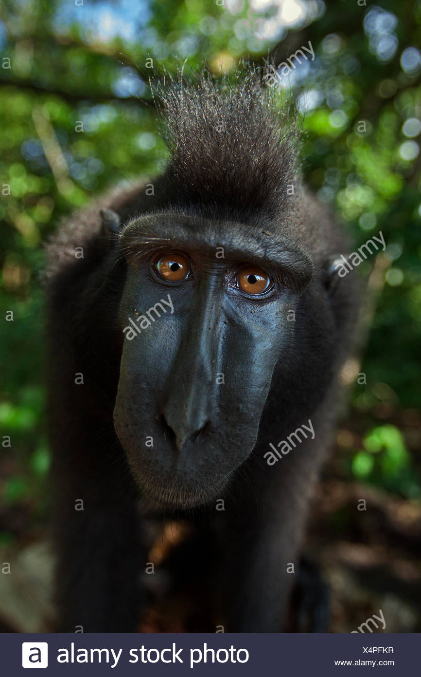 Celebes / Black crested macaque (Macaca nigra)  sub-adult male head and shoulders portrait, Tangkoko National Park, Sulawesi, Indonesia. - Stock Image