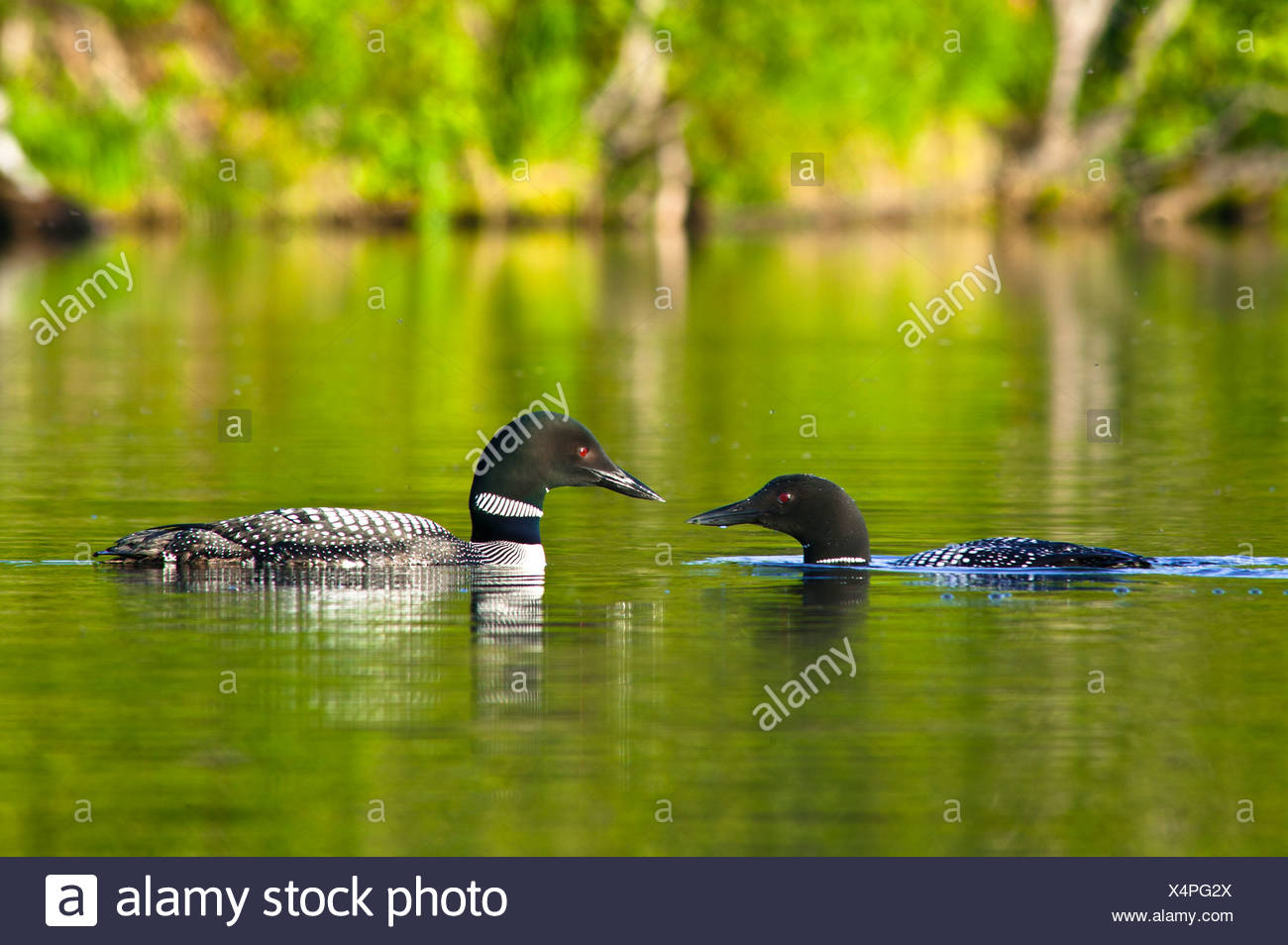 Close up view of two Common Loons face to face on Beach Lake, Chugach State Park, Southcentral Alaska, Summer - Stock Image