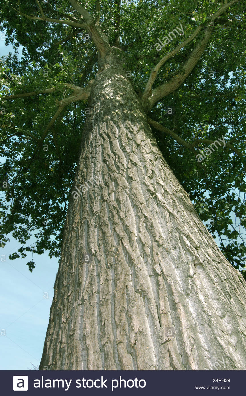 hybrid poplar tree stock photos amp hybrid poplar tree stock