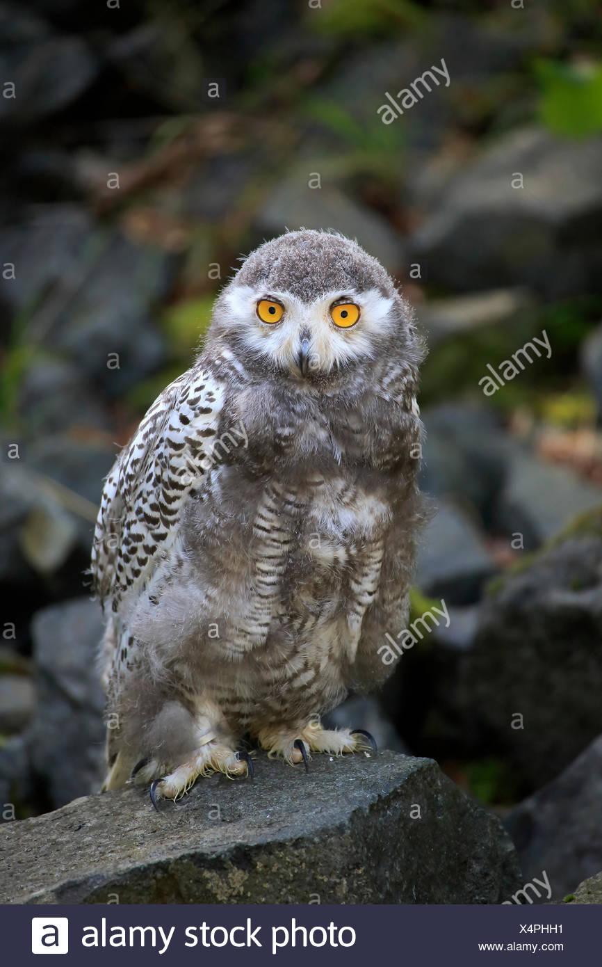 Juvenile Snowy Owl Stock Photos & Juvenile Snowy Owl Stock