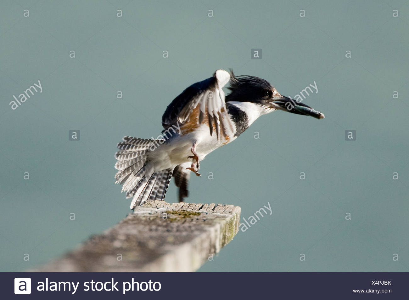 Female Belted Kingfisher (Ceryle alcyon) with a fish in her bill and wings out lifts off of her perch on a dock railing Bella Co - Stock Image