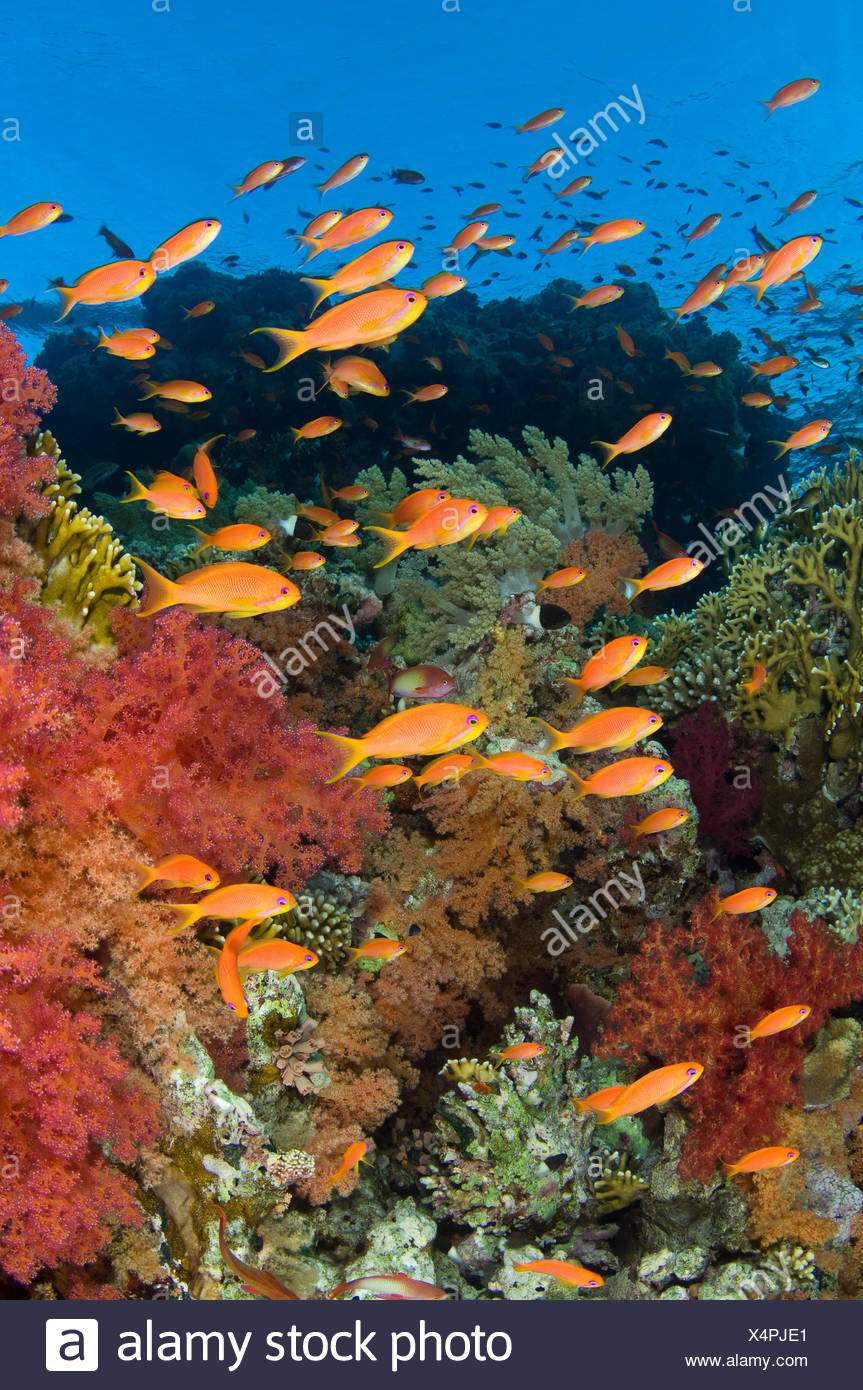 School of Scalefin anthias (Pseudanthias squamipinnis) on reef in the current feeding on plankton, with soft corals (Dendronephthya spp.) and fire coral (Millepora dichotoma) Jackson Reef, Strait of Tiran, Gulf of Aqaba, Red Sea, Egypt. - Stock Image