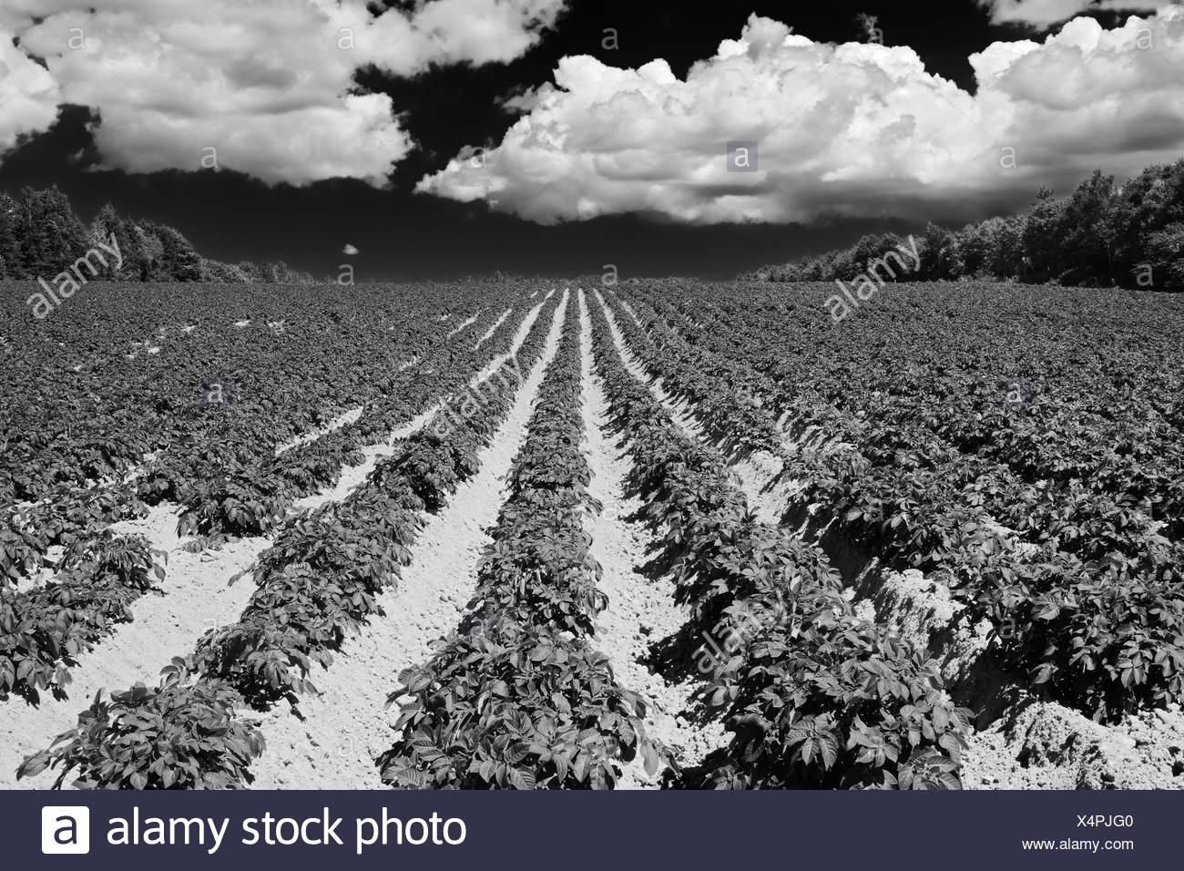 Potatoe field and iron rich red soil Annandale Prince Edward Island Canada - Stock Image