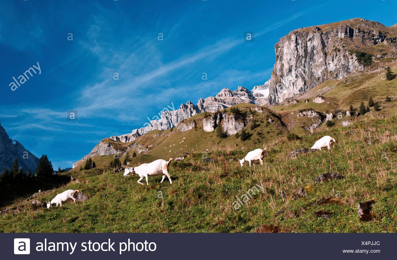 alp, Alps, alpine pasture, alpine farming, mountain landscape, mountainous landscape, mountain scenery, mountainscape, Bernese A Stock Photo