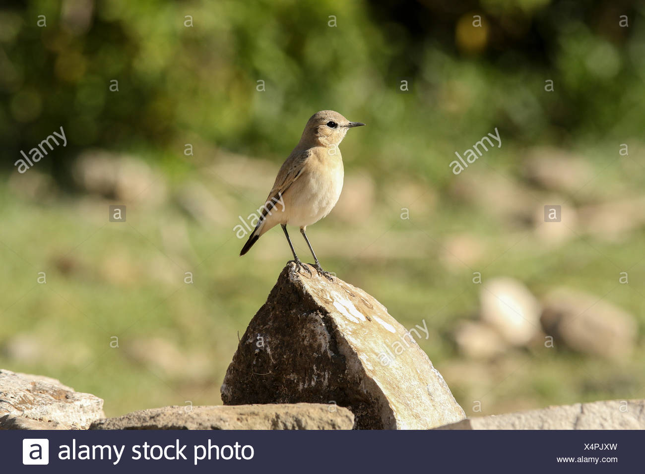 Isabelline Wheatear, Oenanthe isabellina, perching on rock. - Stock Image