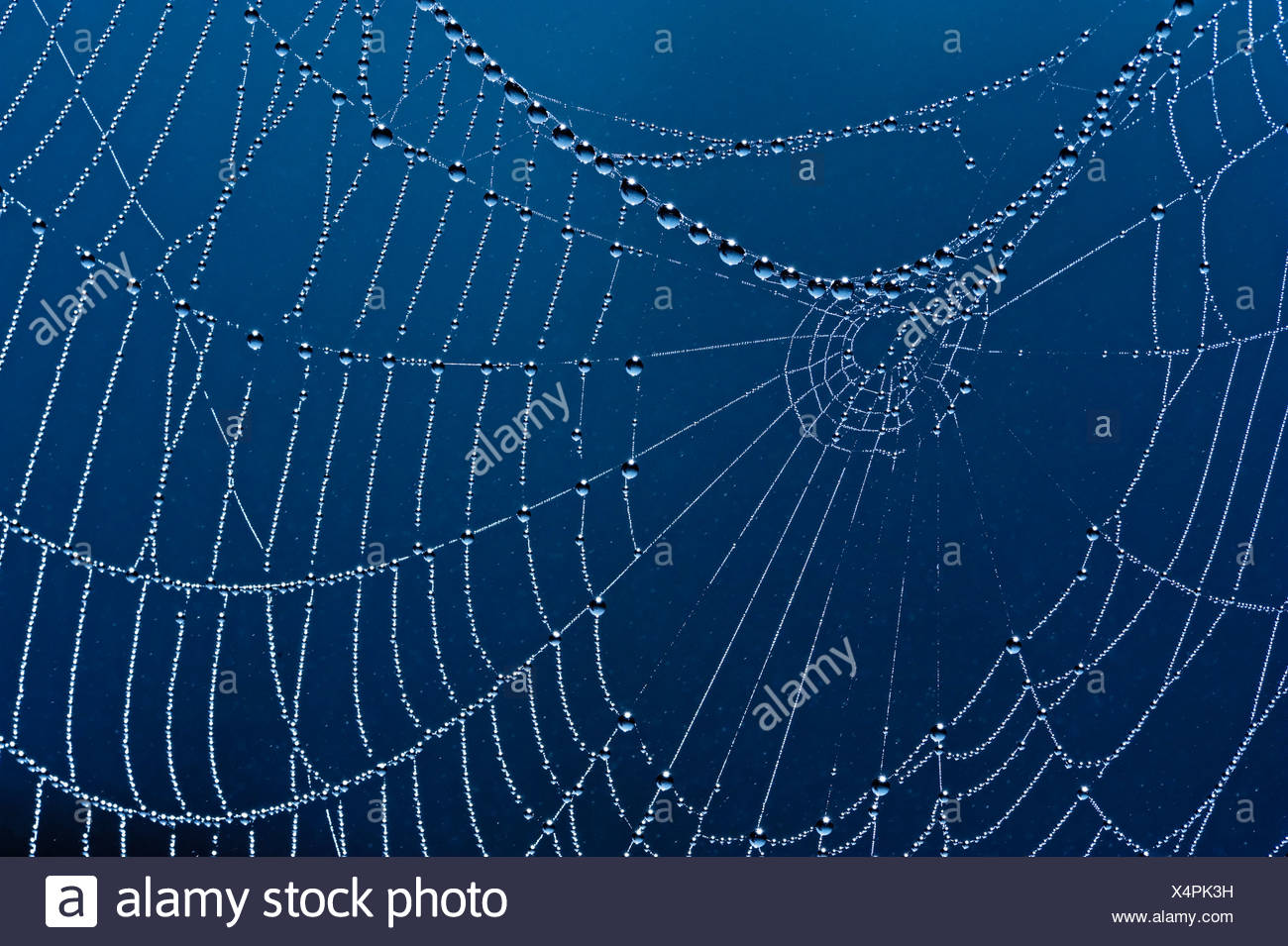 Spider web with dew drops, Germany, Europe - Stock Image