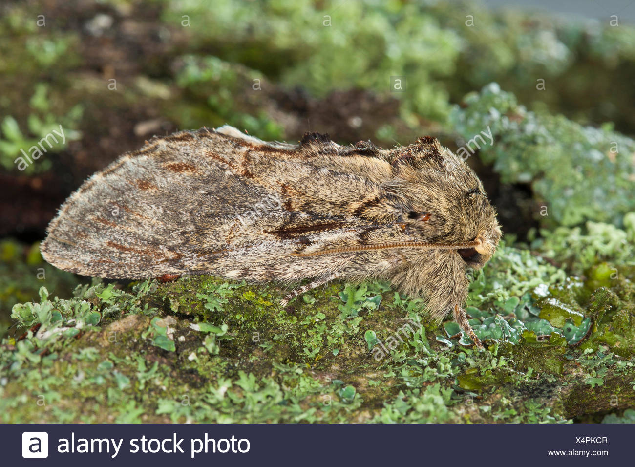 Great prominent (Peridea anceps, Notodonta anceps, Peridea trepida, Notodonta trepida), on a branch with lichens, Germany - Stock Image