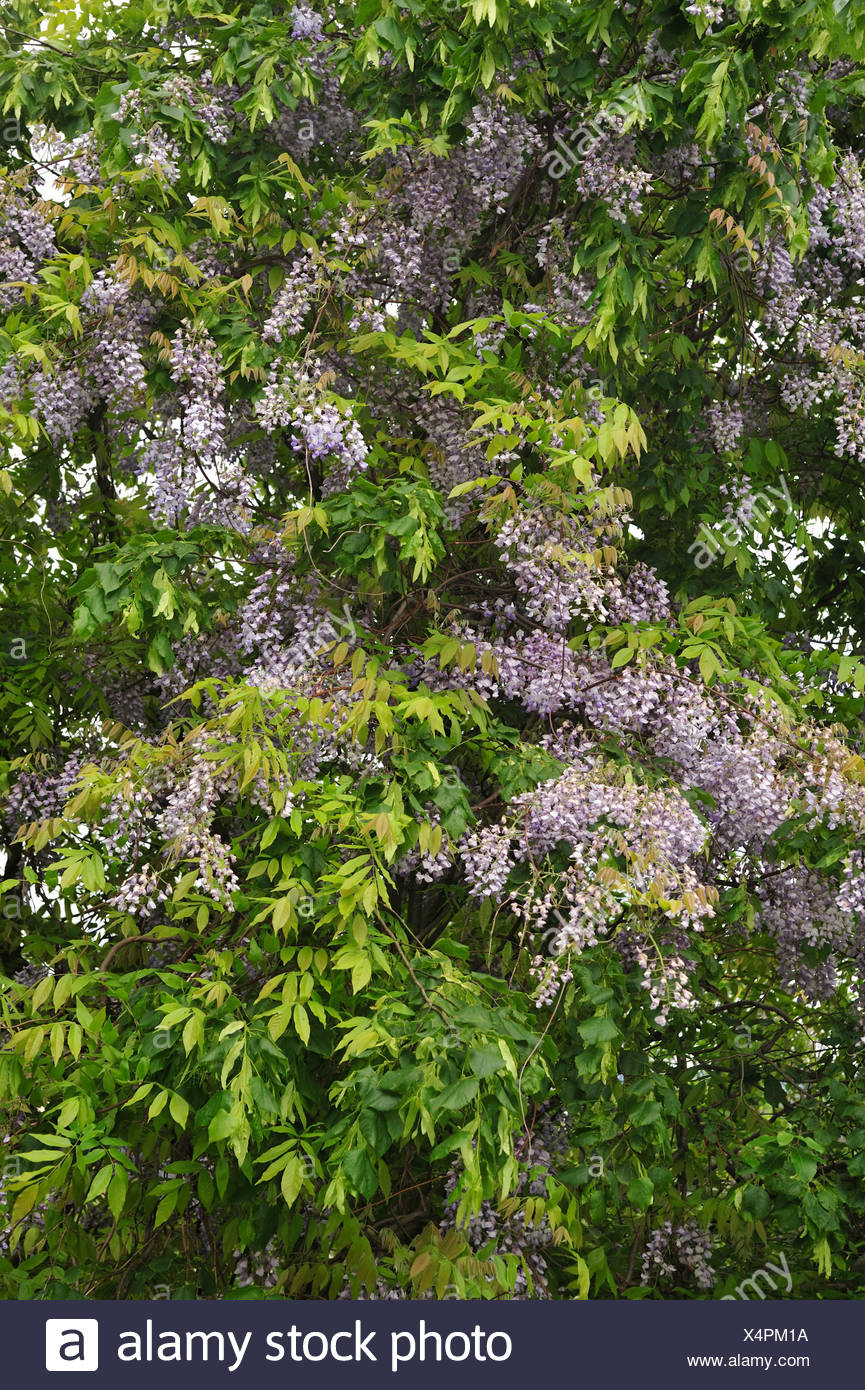 Chinese Wisteria, Wisteria sinensis, Fabaceae, blooming, blossoms, plant, vine, Dübendorf, Canton, Zurich, Switzerland - Stock Image