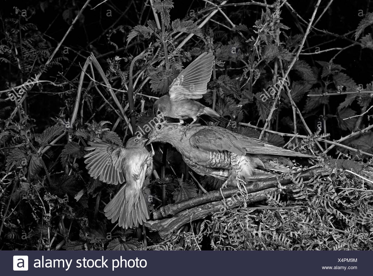 Nightingale attaching a stuffed Cuckoo - Staverton Suffolk. Taken by Eric Hosking in 1948 - Stock Image