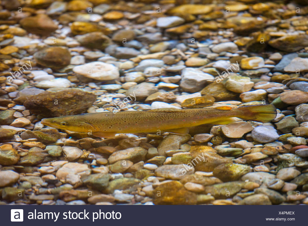 brown trout, river trout, brook trout (Salmo trutta fario), male at the fish migration, Germany, Bavaria - Stock Image