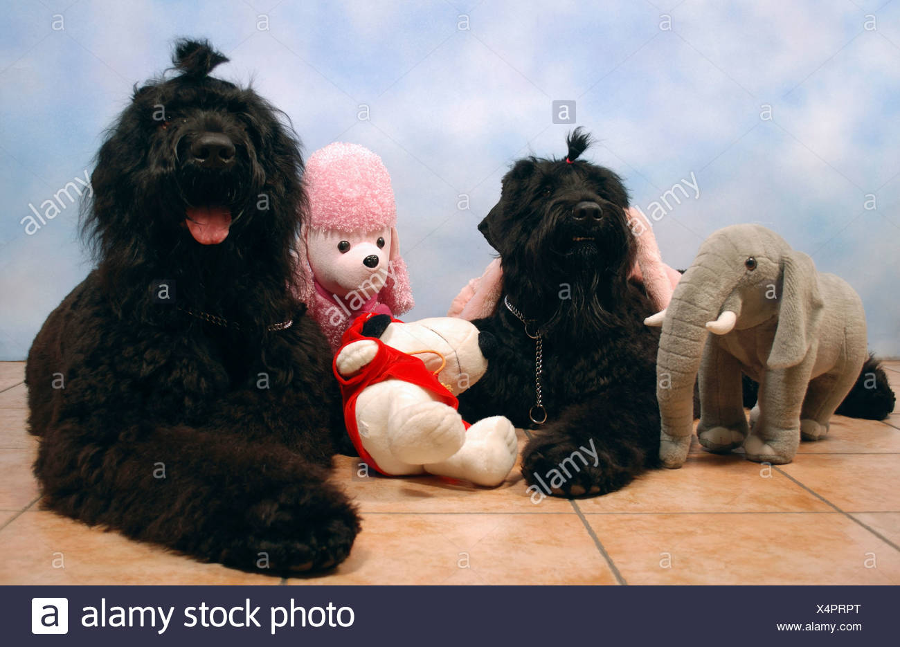 2 Black Russian Terriers sitting facing camera with stuffed toys Property release available - Stock Image