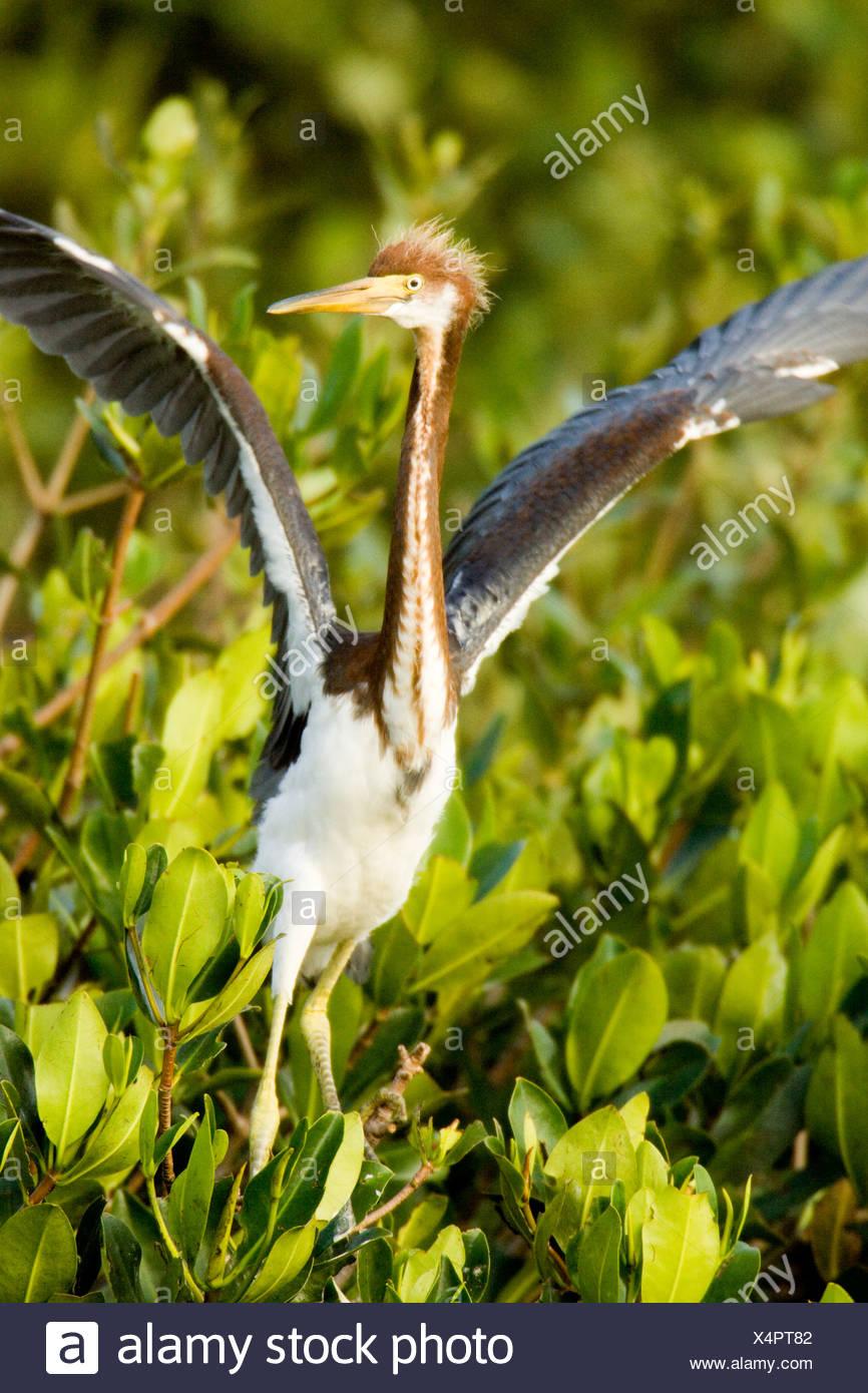 Tricolored Heron (Egretta tricolor) about to take flight. - Stock Image
