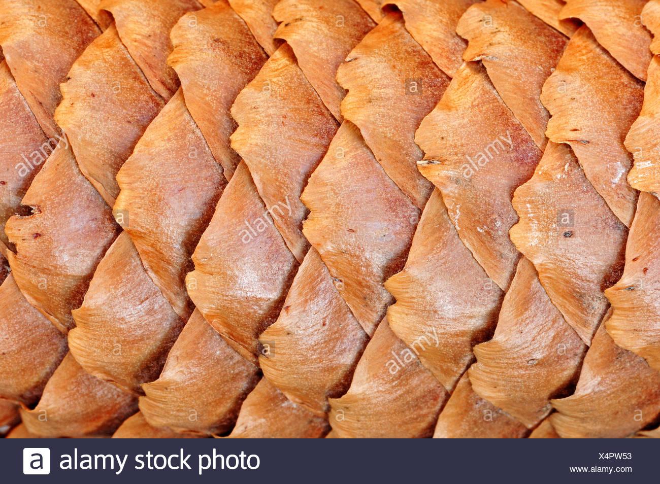Norway Spruce, cone, North Rhine-Westphalia, Germany / (Picea abies) - Stock Image