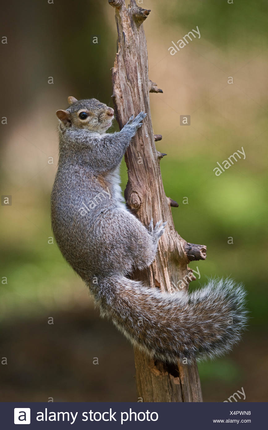 Grey (Eastern Gray) Squirrel Sciurus carolinensis in wood North Norfolk - Stock Image