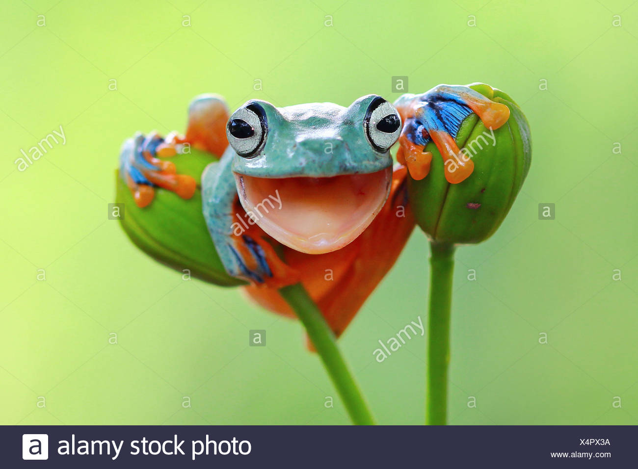 Portrait of a tree frog with mouth open smiling, Indonesia - Stock Image