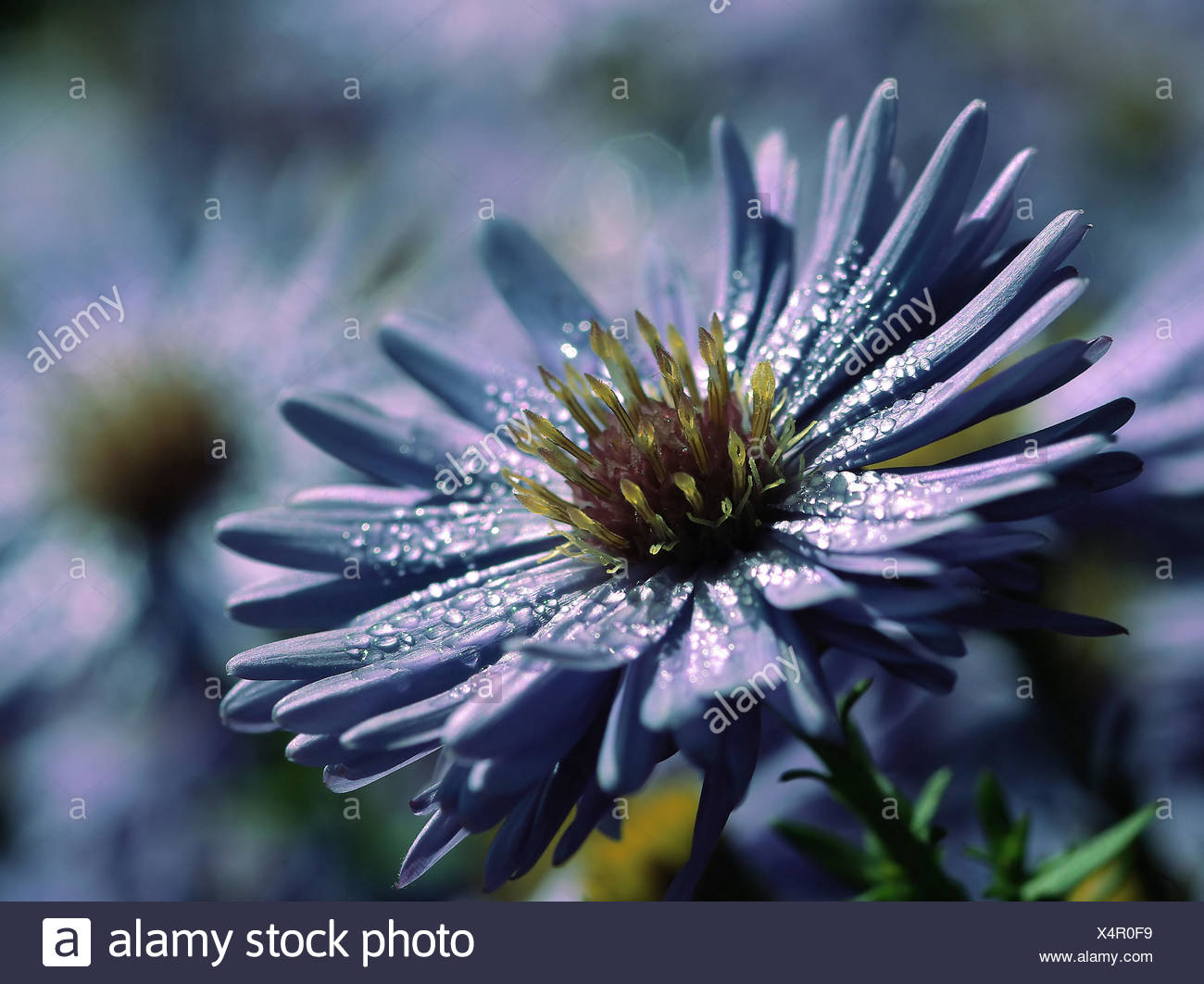 blue purple violet dew aster water drop waterdrop water drop drip drops seeping Stock Photo