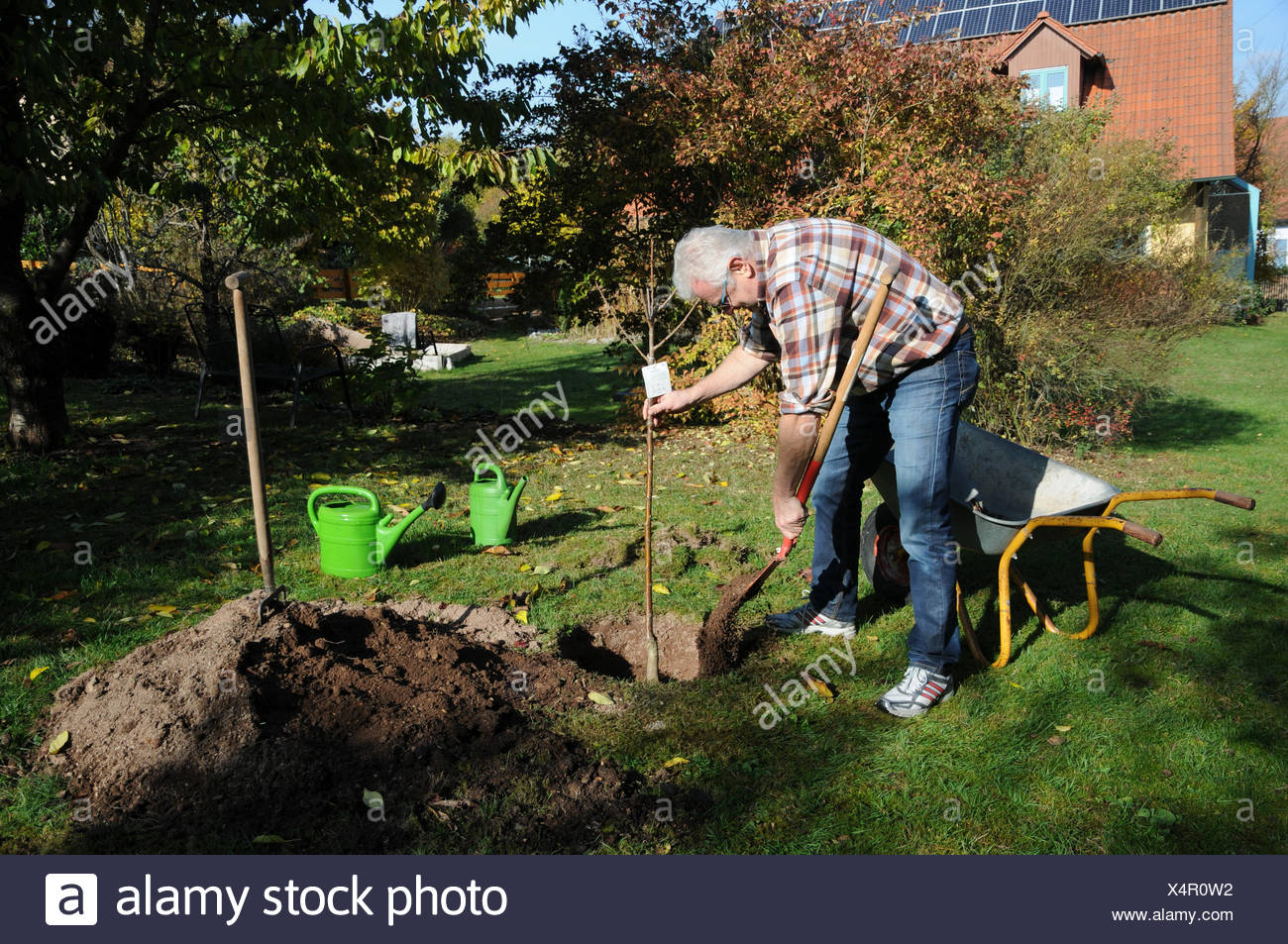 Sweet cherry tree, planting - Stock Image