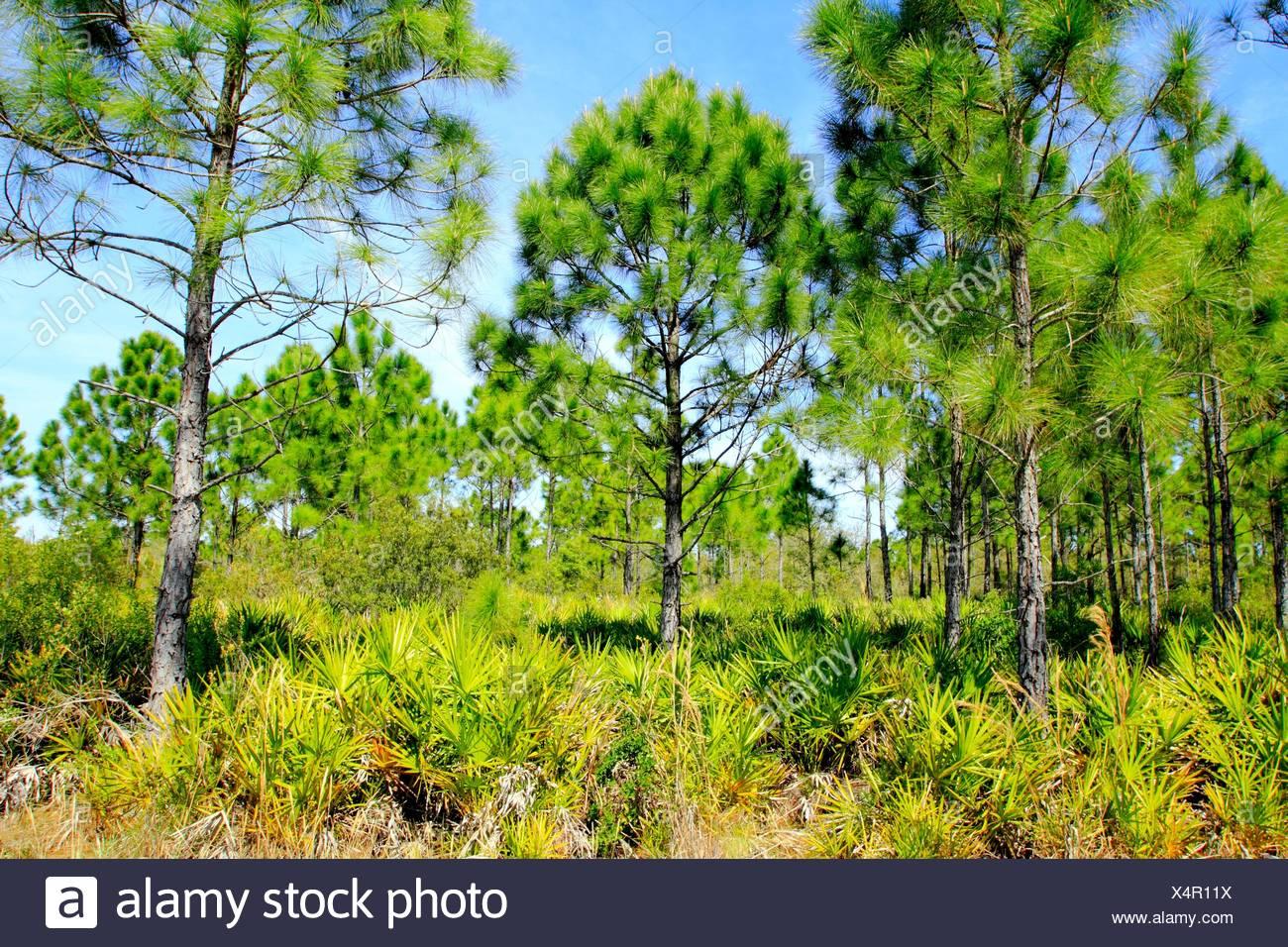 Pine Flatwoods ecosystem Florida USA - Stock Image