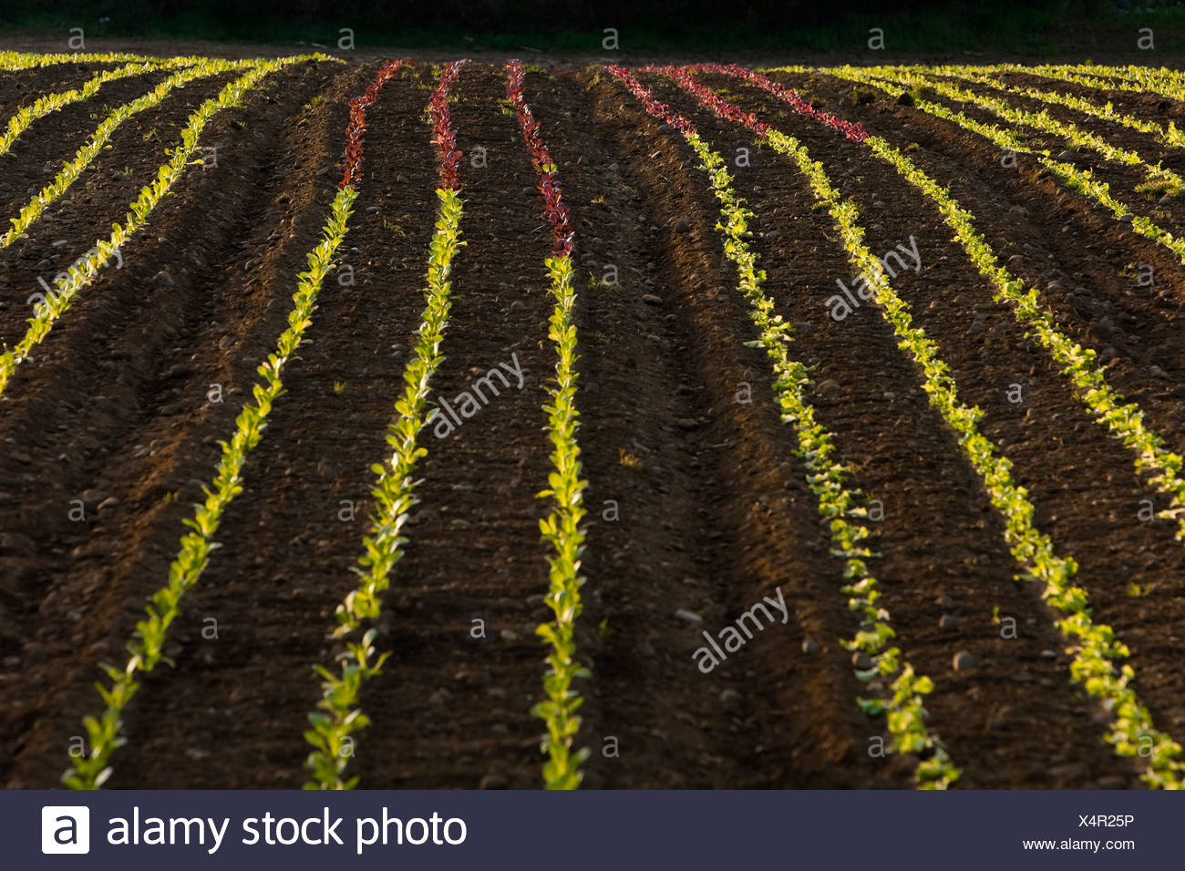 Varieties Lettuce begin growth process bound - Stock Image