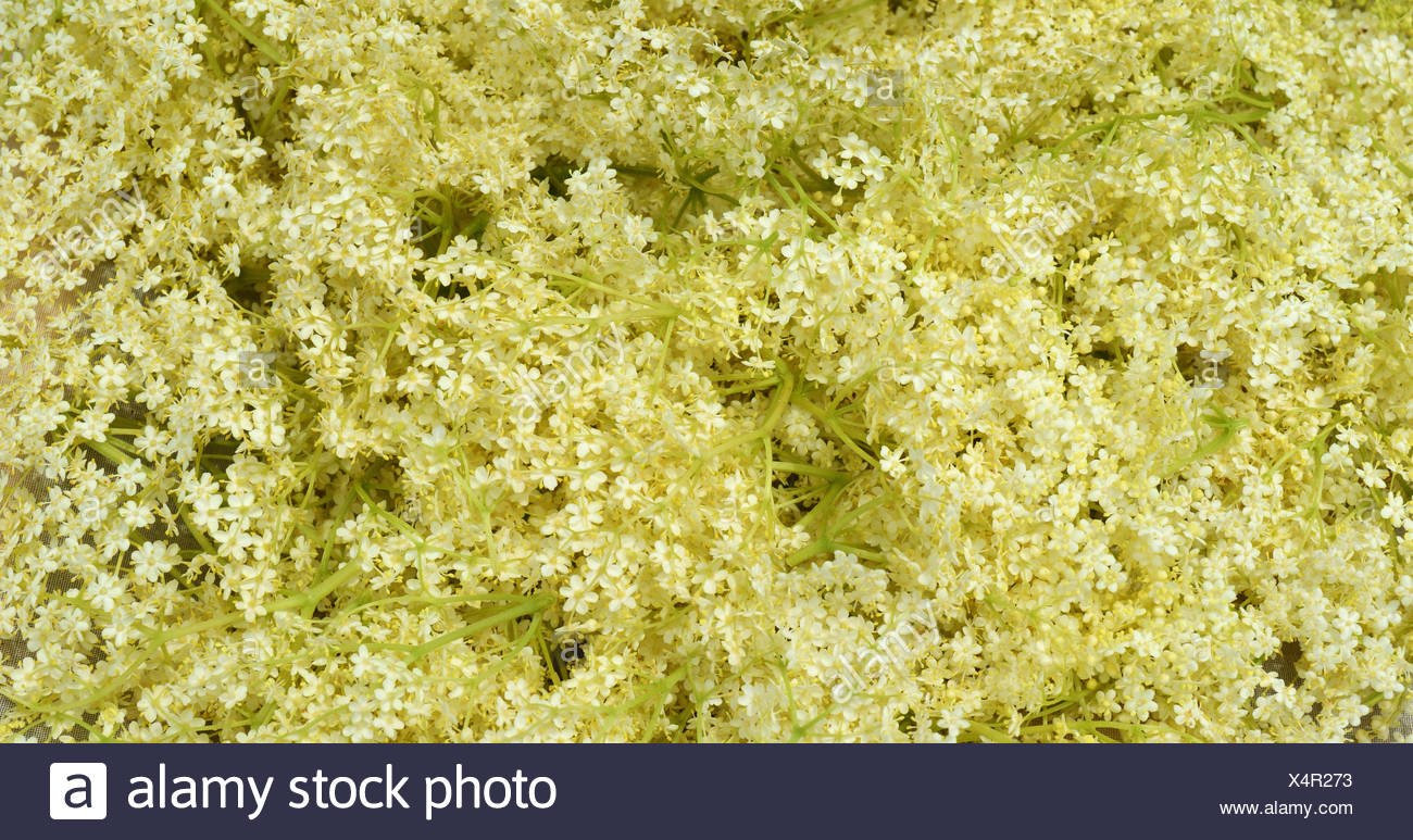elderberry photos elderberry blossom stock photos elderberry blossom stock 2011