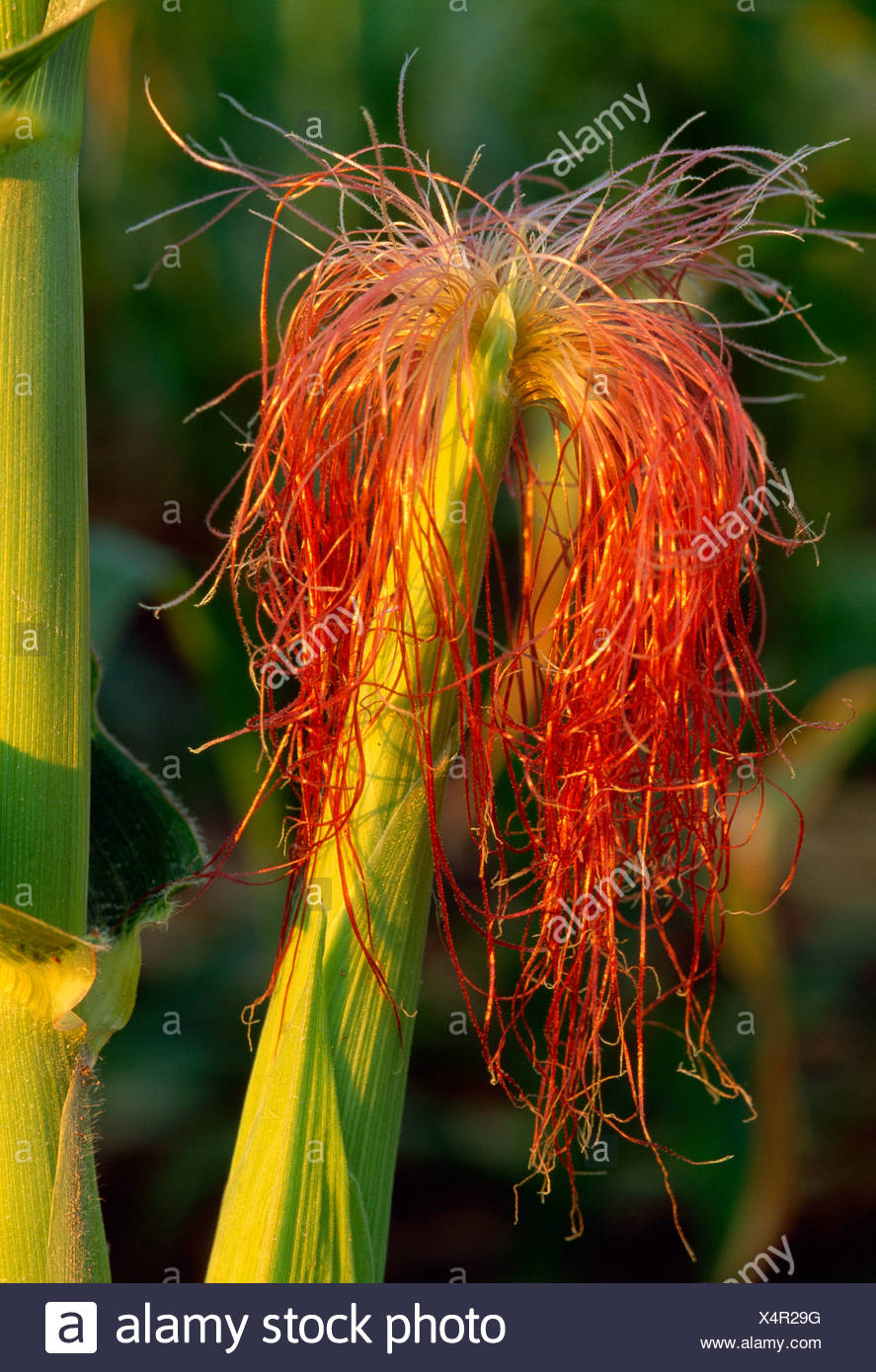 Agriculture - Closeup of an ear of grain corn showing the emerging pollen collecting red silks in the early growth stage / Iowa. - Stock Image