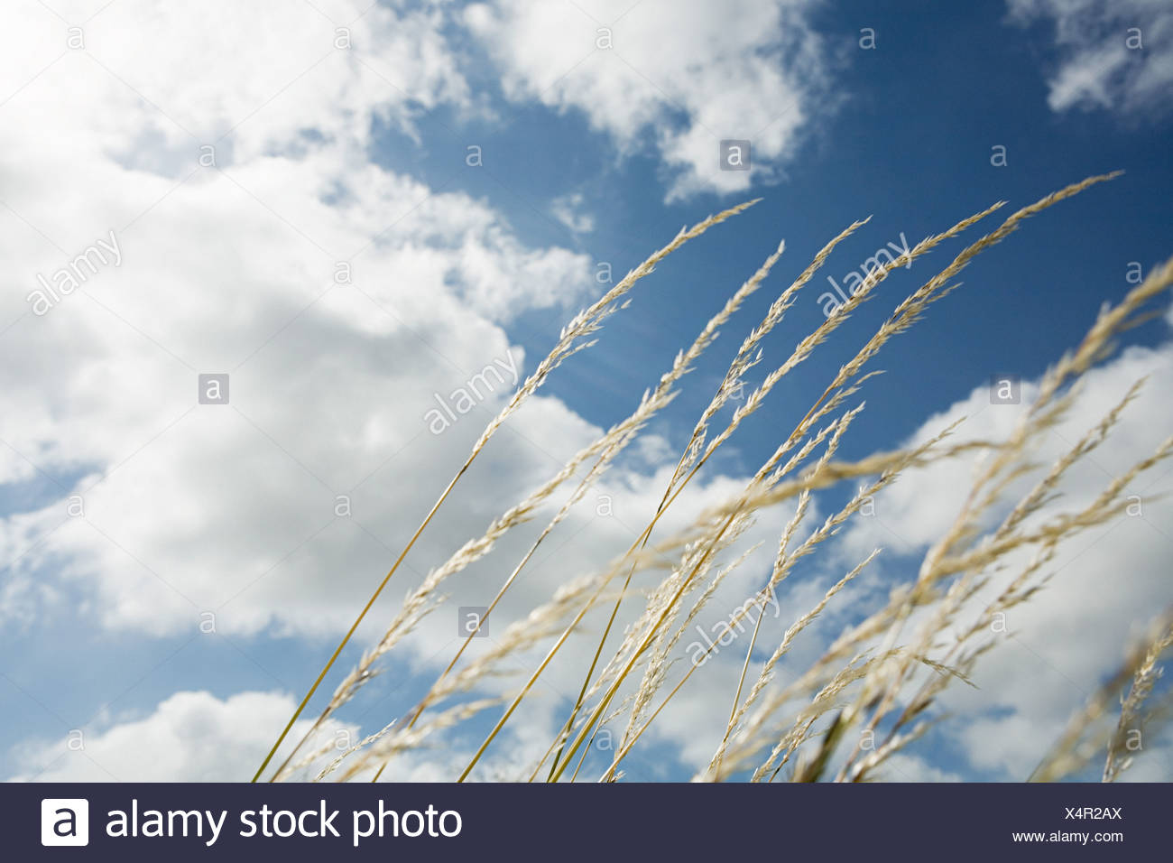 Grass blowing in the breeze - Stock Image
