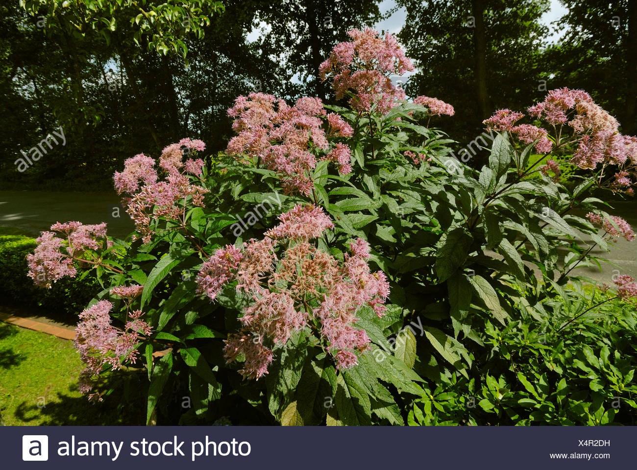 joe-pye weed, trumpet weed, gravelroot, sweet joe-pye-weed (Eupatorium purpureum), flowering bush in the garden, Germany, NRW, Sennestadt - Stock Image