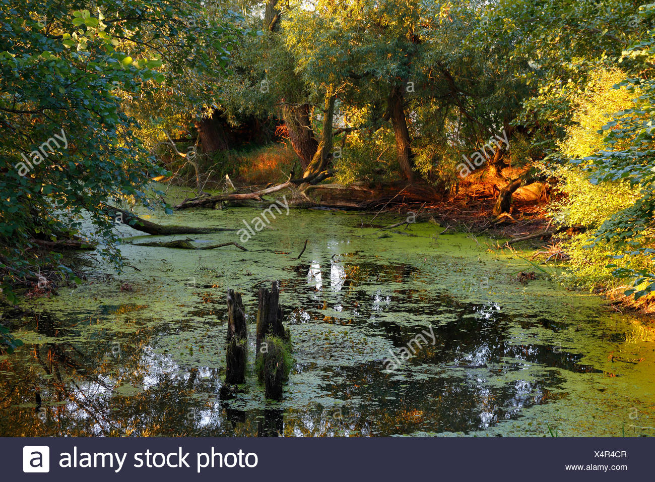 Oxbow lake in the floodplain landscape, Middle Elbe Biosphere Reserve, Dessau-Rosslau, Saxony-Anhalt, Germany - Stock Image