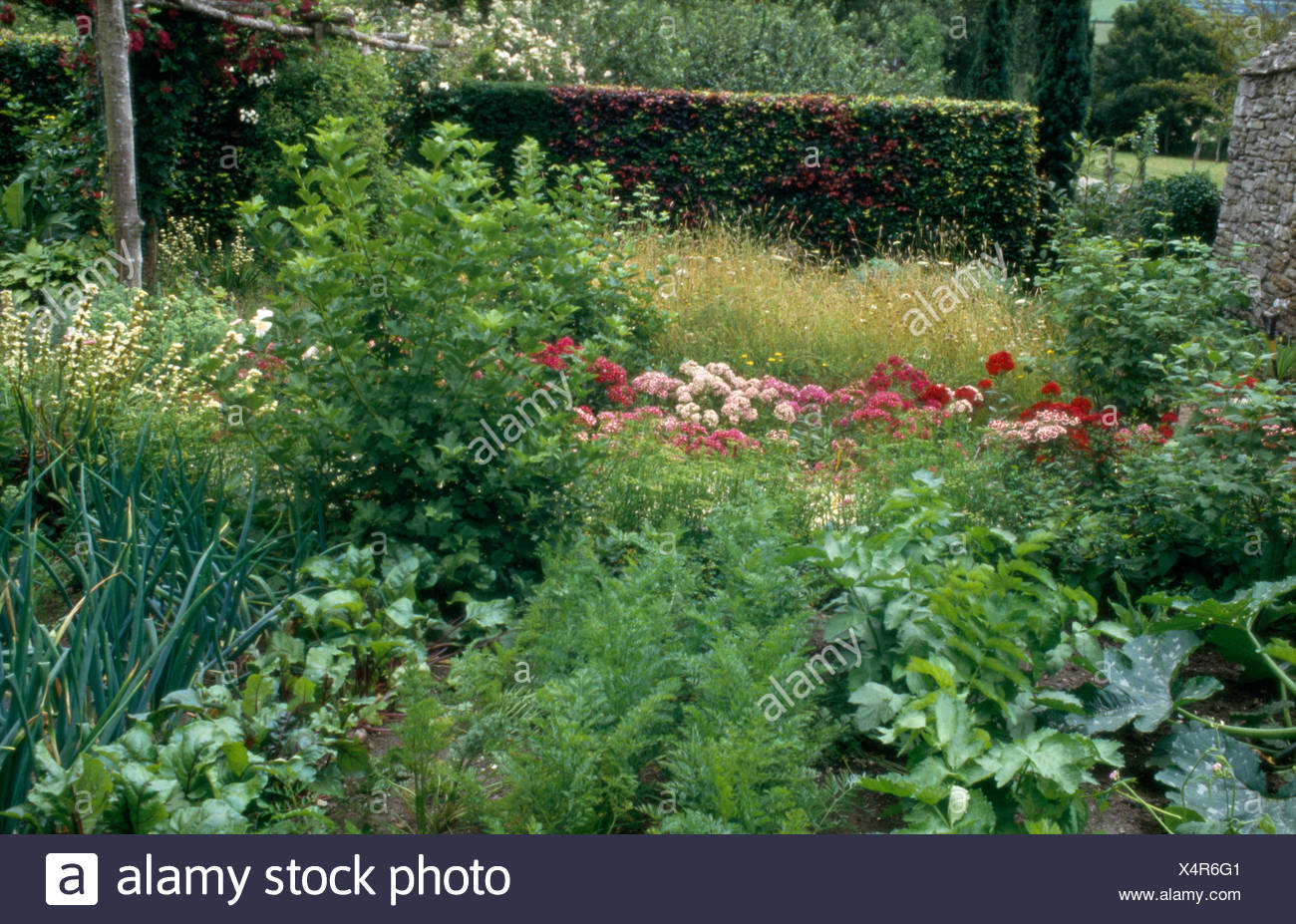 Rows of carrots and onions in a country vegetable garden with pink Sweet Williams - Stock Image