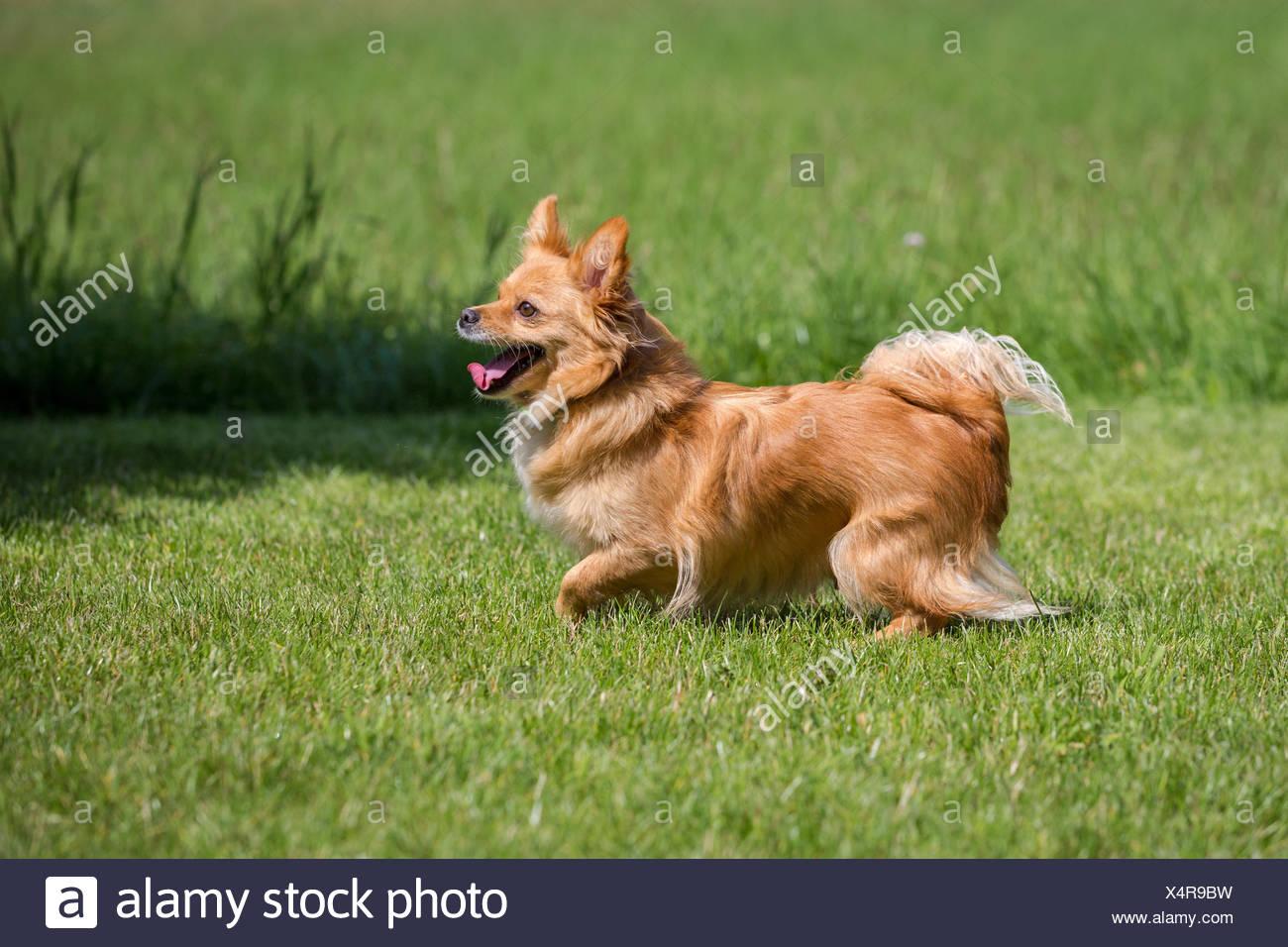 Ein Kleiner Brauner Hund Steht In Einer Wiese Stock Photo Alamy