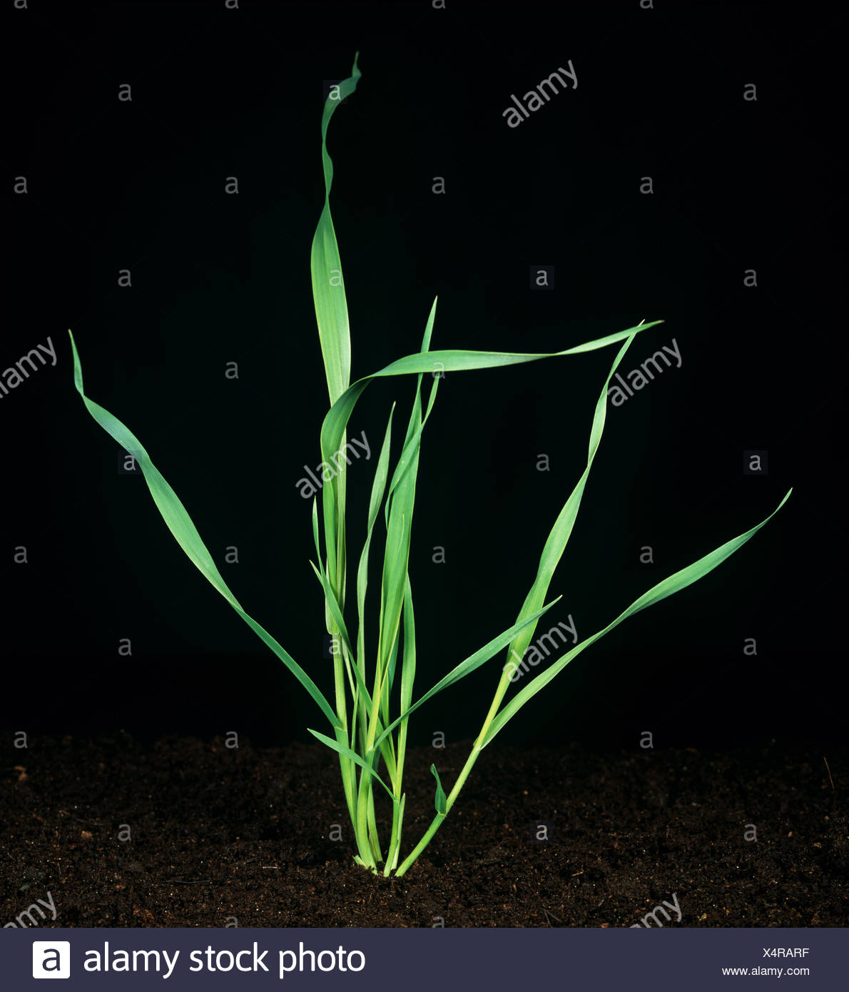 Wild Oat (Avena fatua) young tillering plant Stock Photo