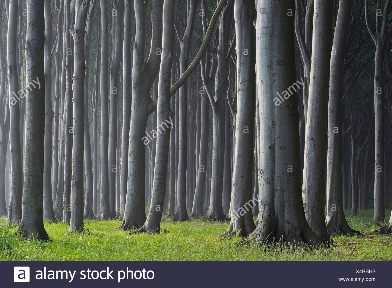 Mecklenburg-Western Pomerania, Beech tree forest Stock Photo