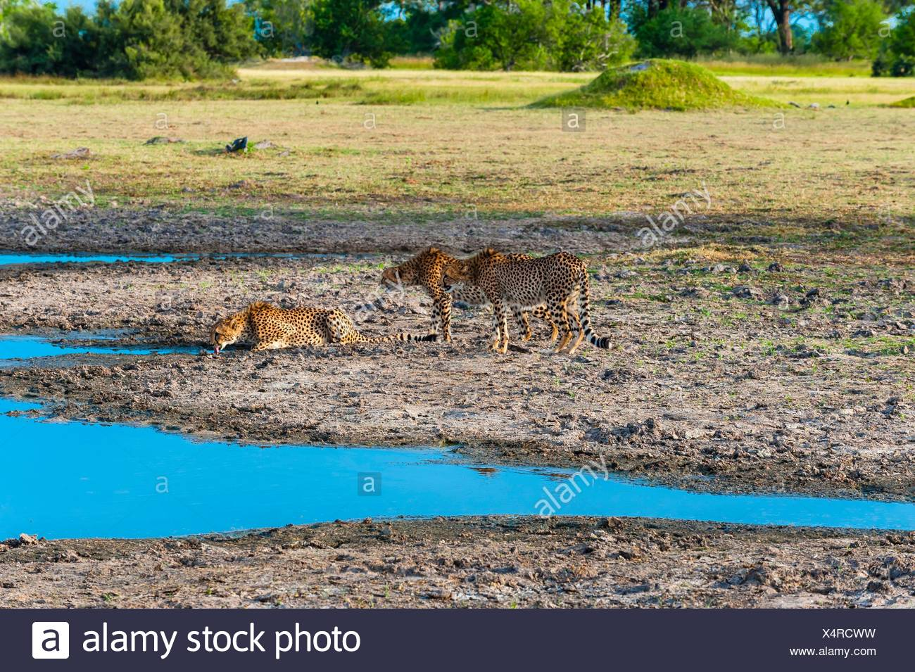 Cheetahs bending down to drink water, near Kwara Camp, Okavango Delta, Botswana. They are extremely apprehensive when near - Stock Image