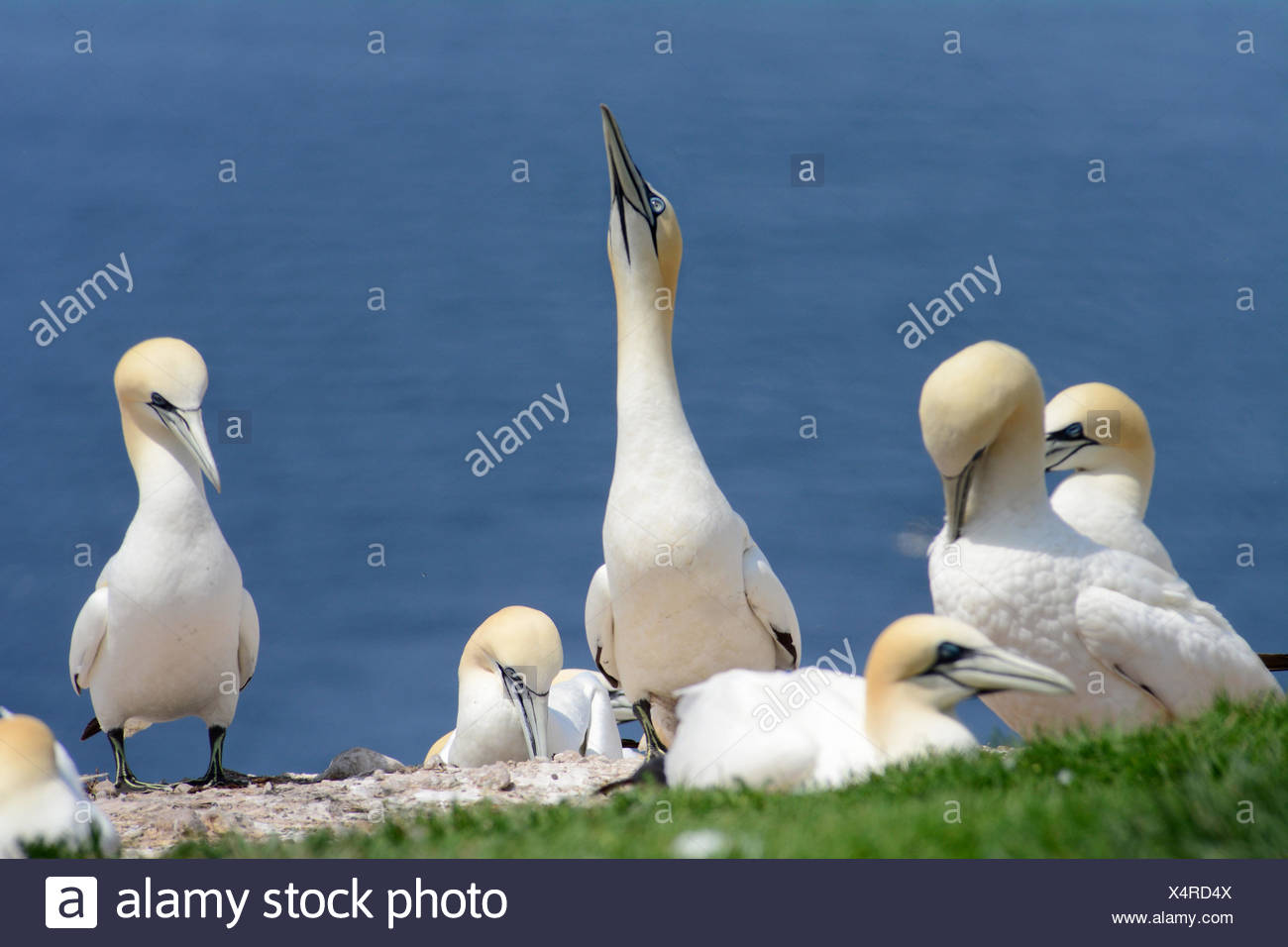 A northern gannet near the edge of its breeding colony raises its head preparing to fly. - Stock Image