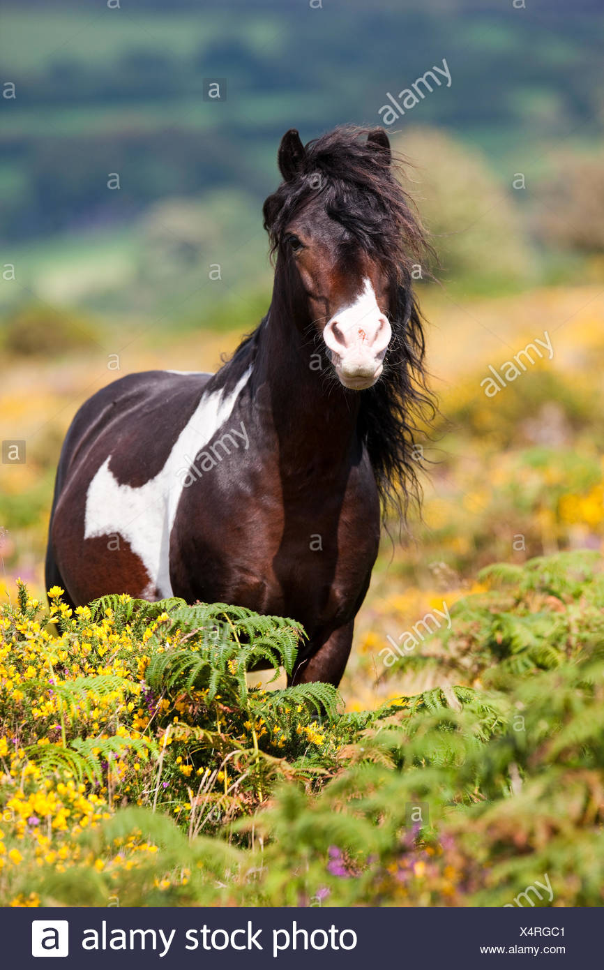 Dartmoor Hill Highland Pony, brown white spotted, stallion, blooming heather, moorland, Dartmoor National Park, Devon Stock Photo