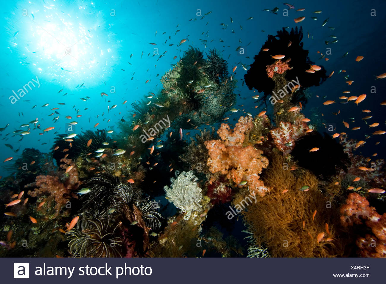Coral and fish cover the wreck of the ship 'Liberty', sunk in 1942. - Stock Image