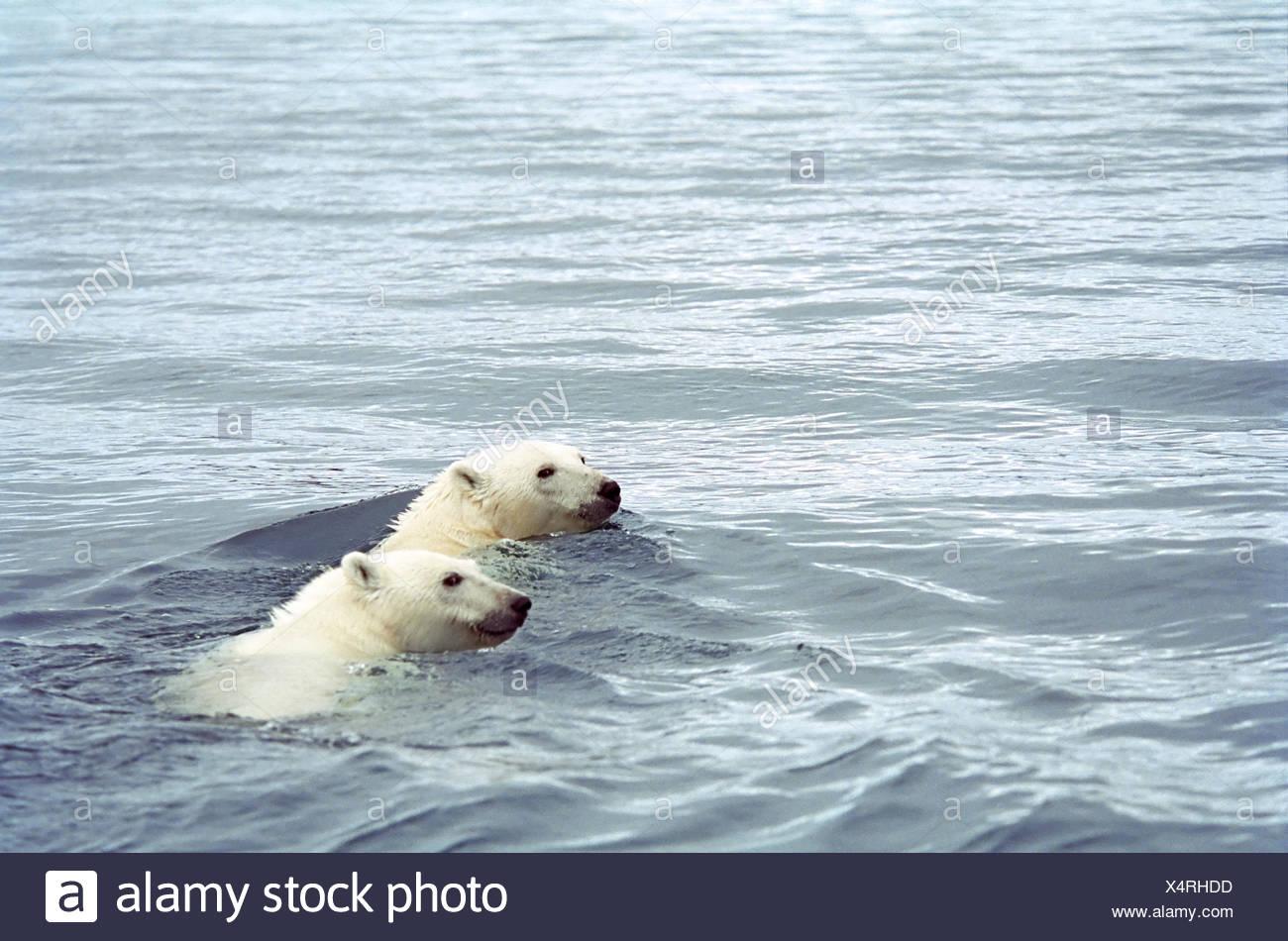 Polar bear mother and cub, Ursus maritimus,  swimming in Wager Bay, Ukkusiksalik National Park, Nunavut - Stock Image