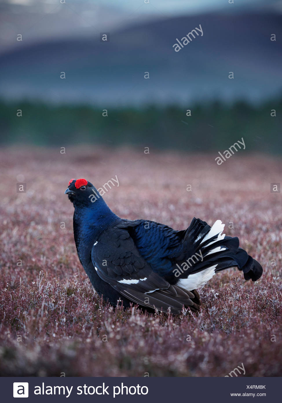 A black grouse on a lek in the highlands of Scotland. - Stock Image