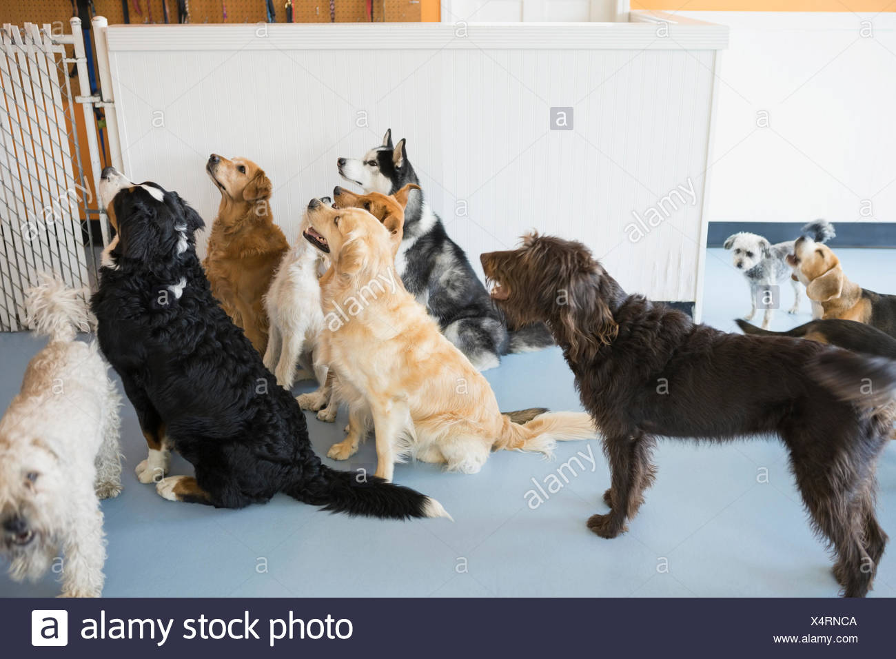 Curious dogs looking up at dog daycare - Stock Image