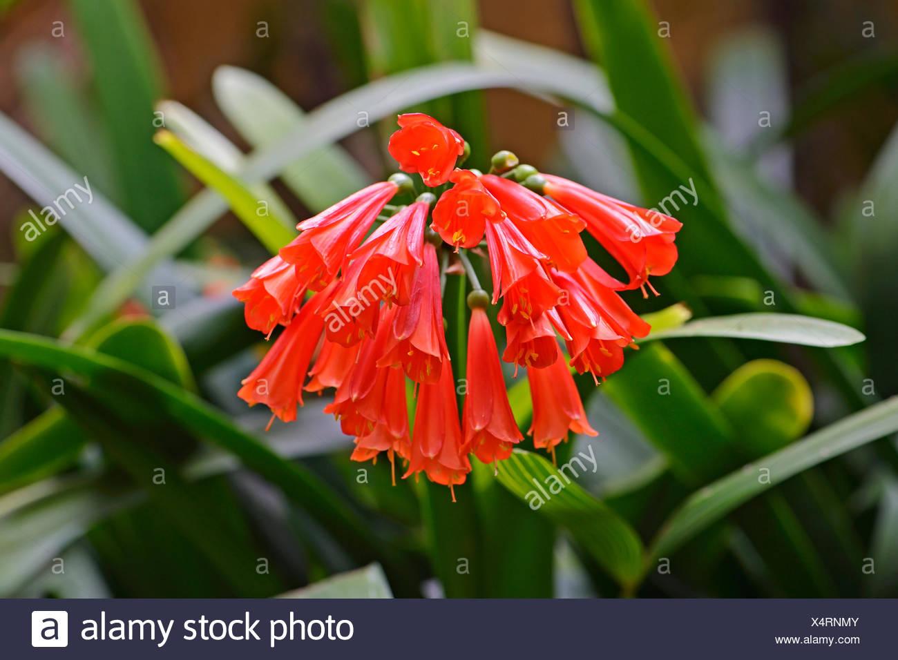 Klivie (Clivia caulescens), Suedafrika - Stock Image